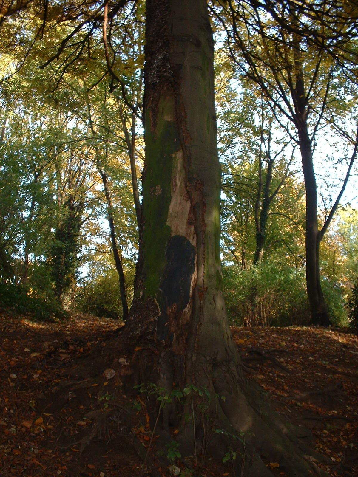 Hêtre à feuilles lacinées – Uccle, Parc Raspail, parc –  05 Novembre 2003