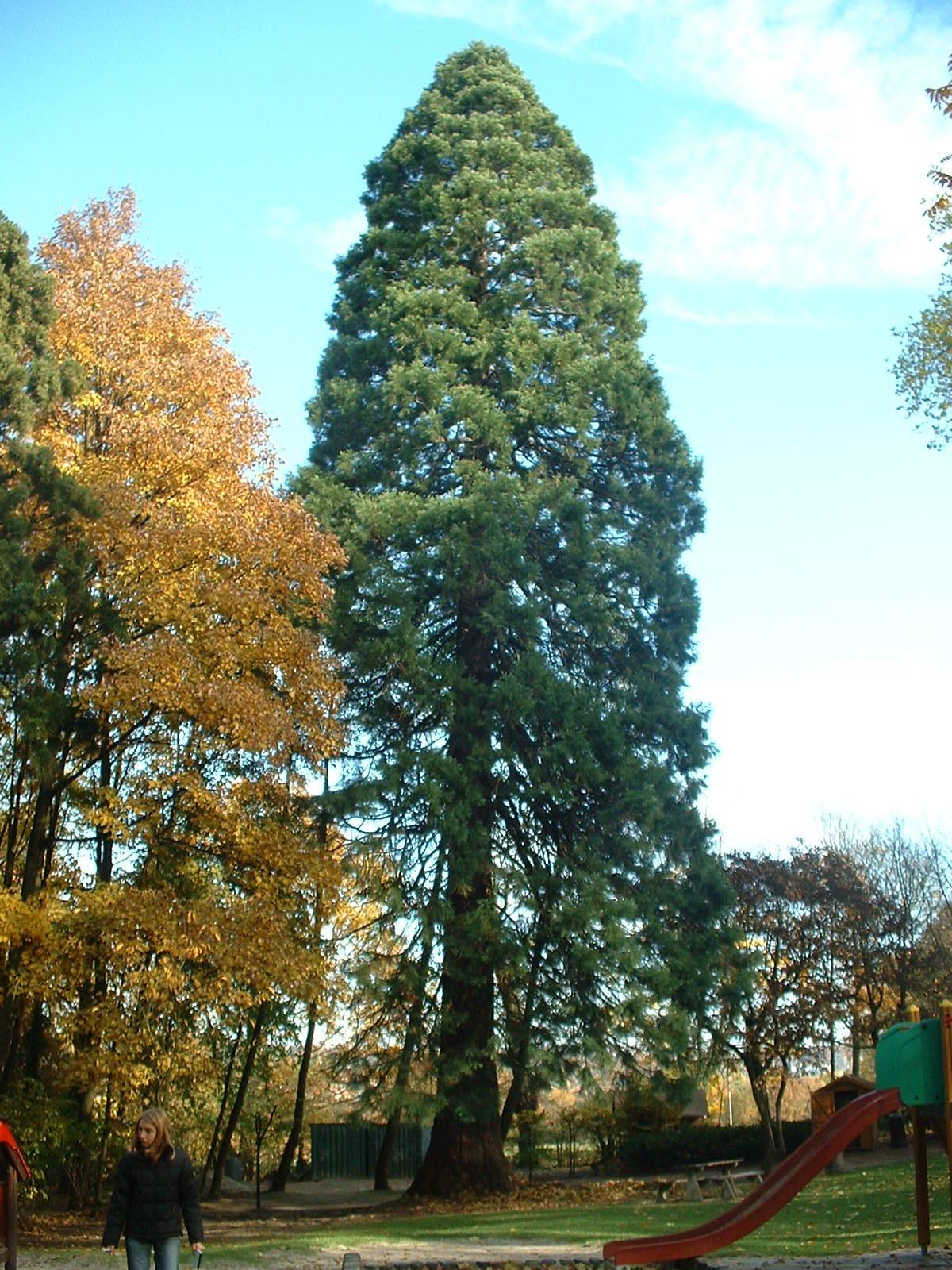 Sequoia géant – Uccle, Parc de la Sauvagère, parc –  05 Novembre 2003