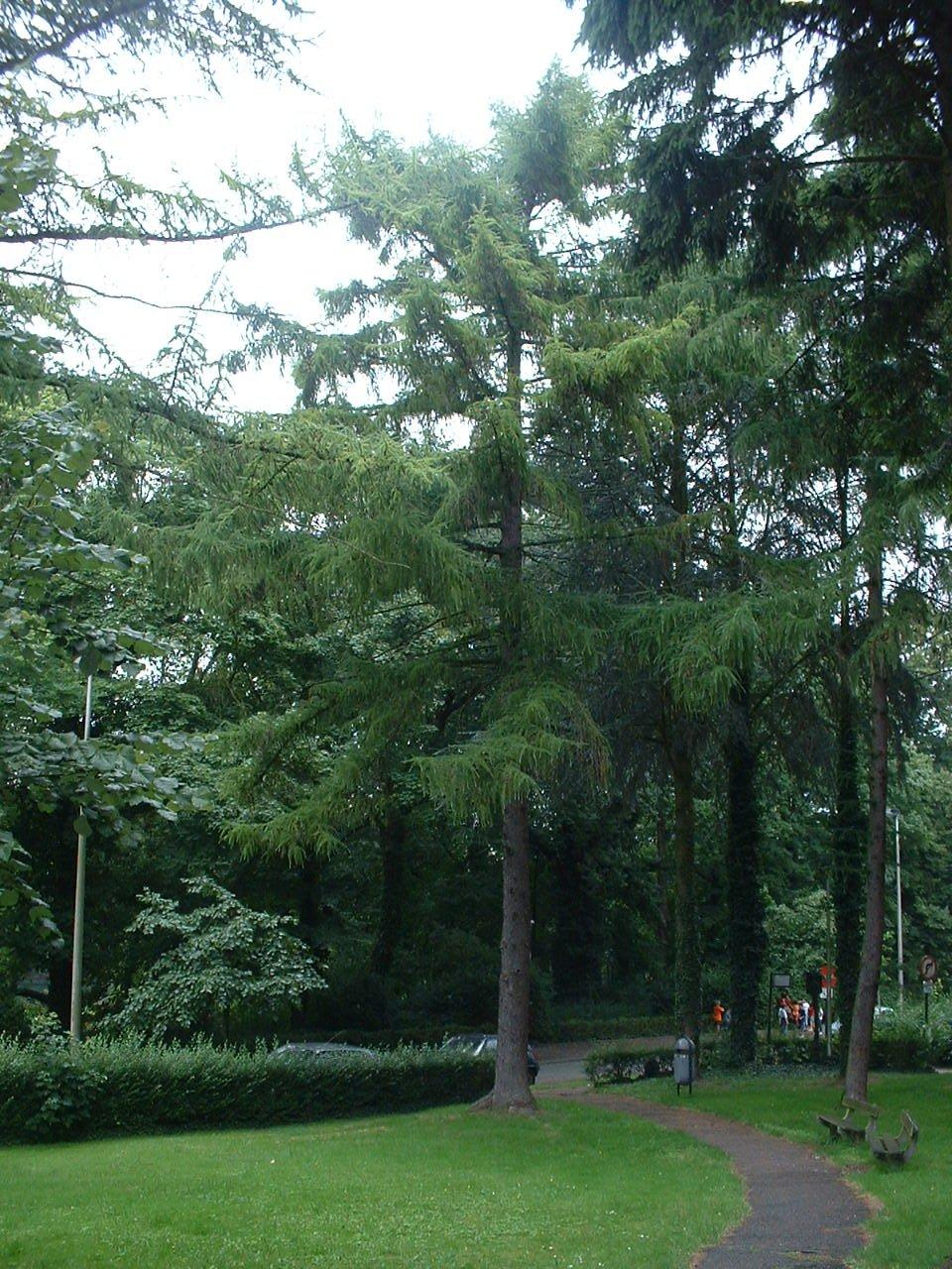 Mélèze du Japon – Auderghem, Avenue du Grand Forestier –  03 Août 2005