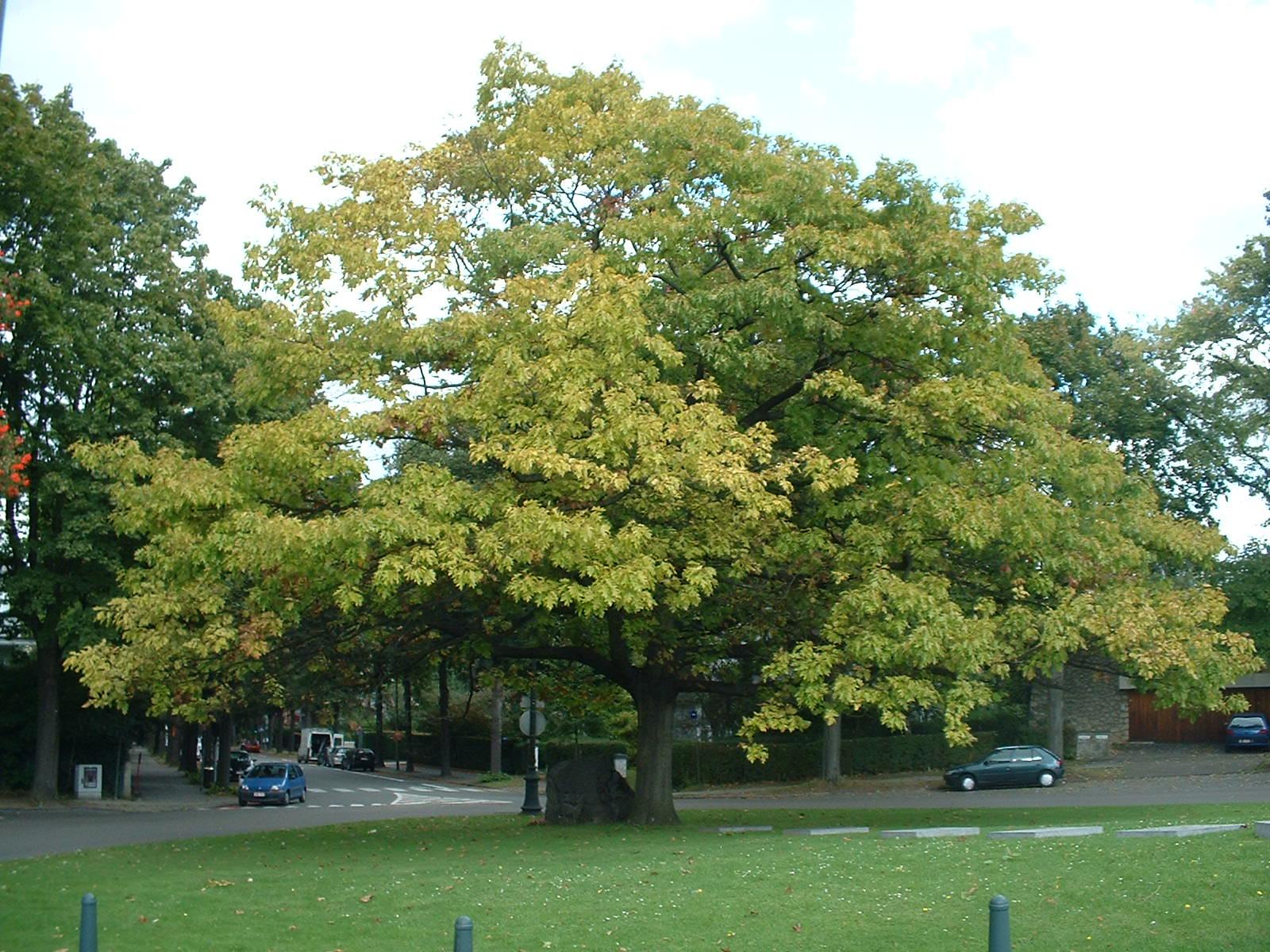 Chêne rouge d'Amérique – Uccle, Square Charles Lagrange –  24 Septembre 2003