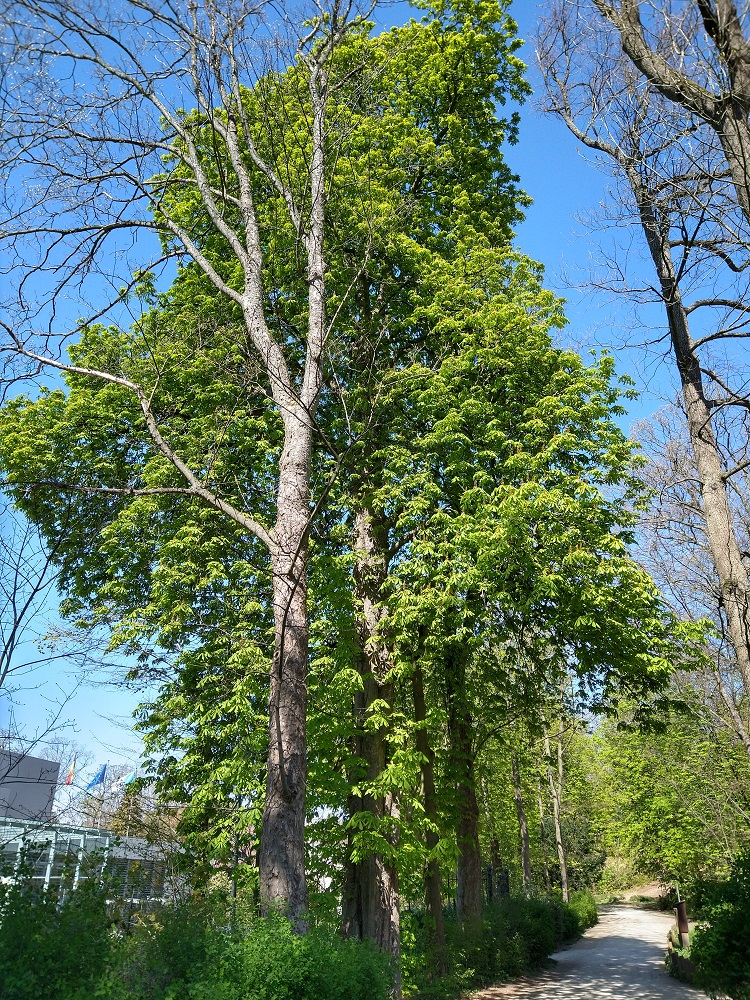 Marronnier commun – Uccle, Parc de Wolvendael –  23 Avril 2021