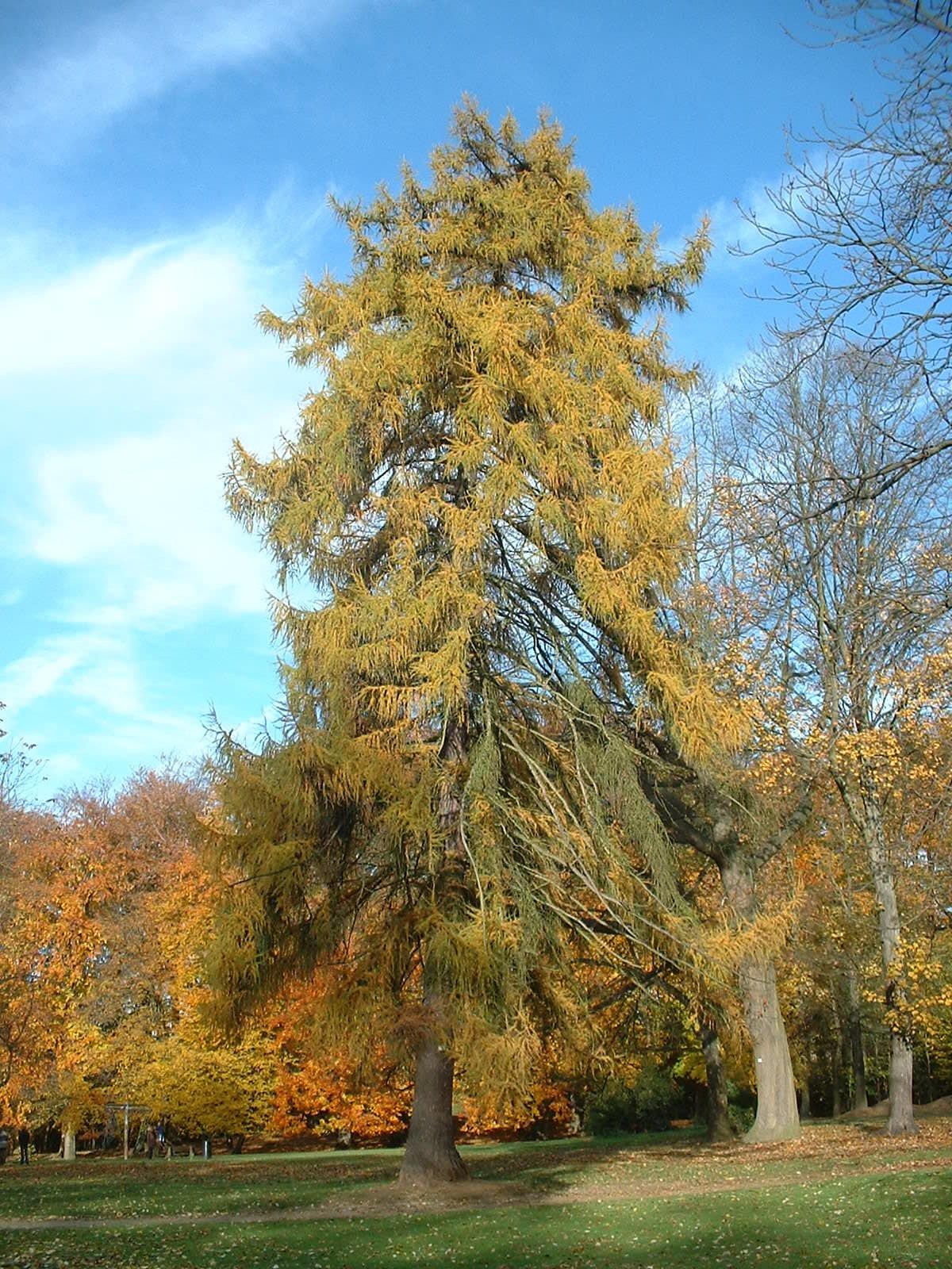 Mélèze d'Europe – Uccle, Parc de Wolvendael, parc –  05 Novembre 2003