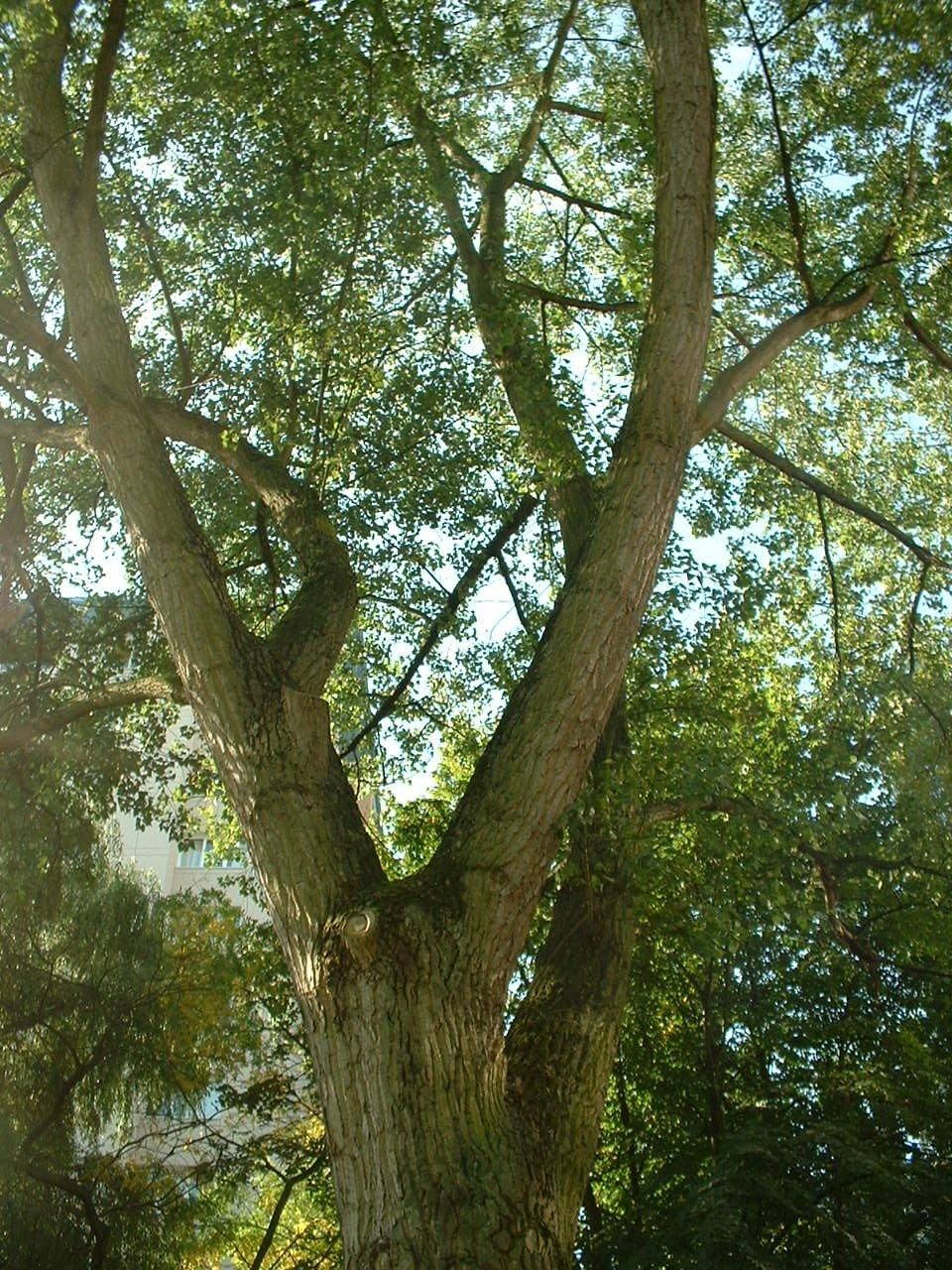 Populus x canadensis 'Serotina', ,  05 Septembre 2005