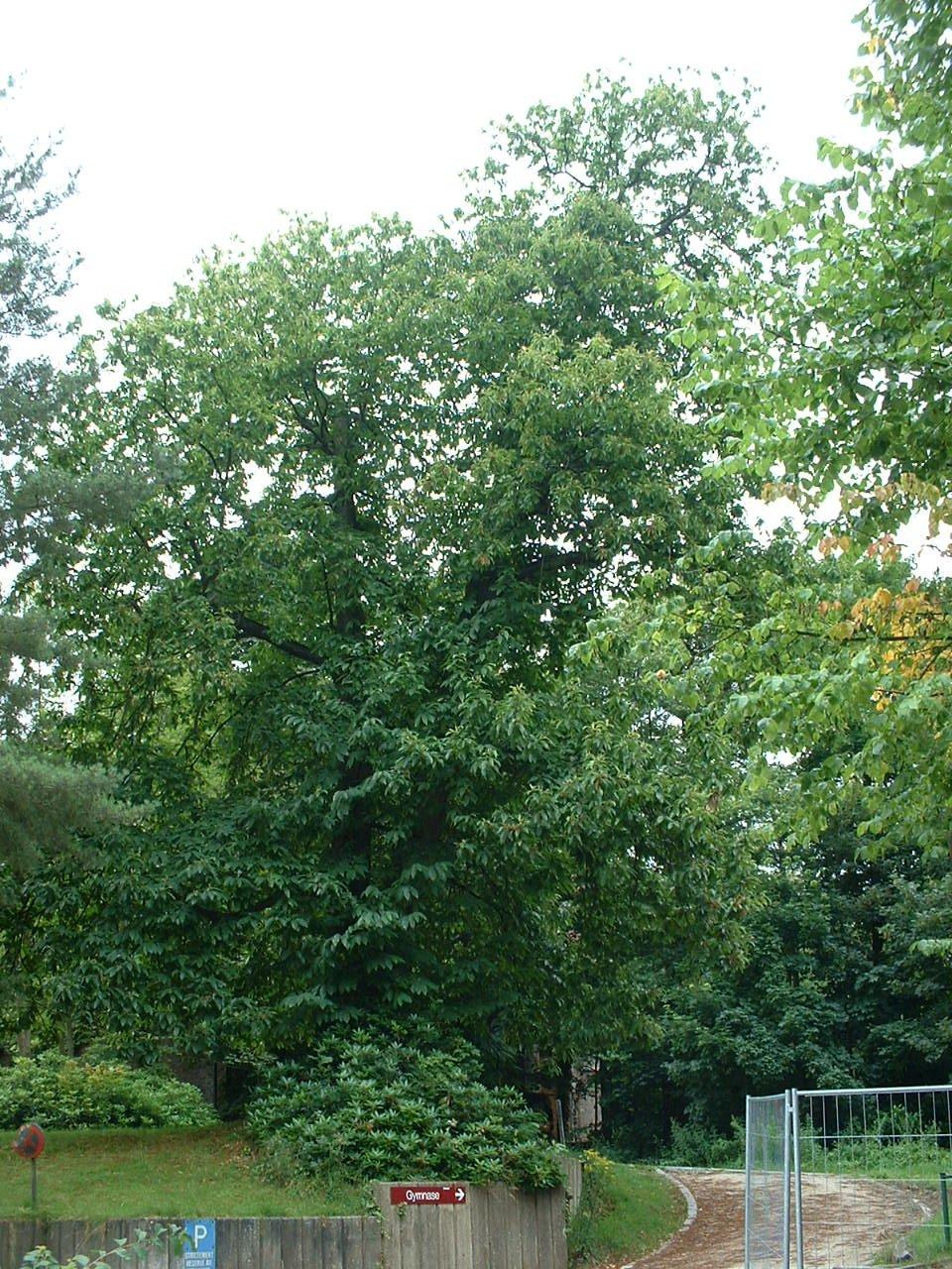 Tamme kastanje – Watermaal-Bosvoorde, Park van het Sint-Hubert collège, Charle-Albertlaan, 9 –  23 Juli 2002