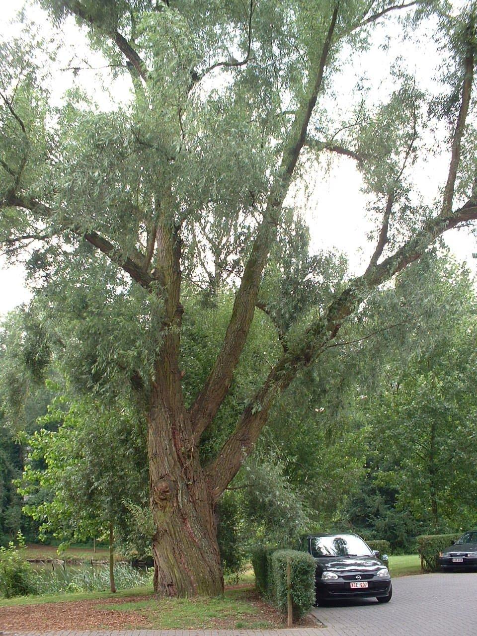 Gewone wilg – Watermaal-Bosvoorde, Reigersbosparc, Visserijstraat –  22 Juli 2002