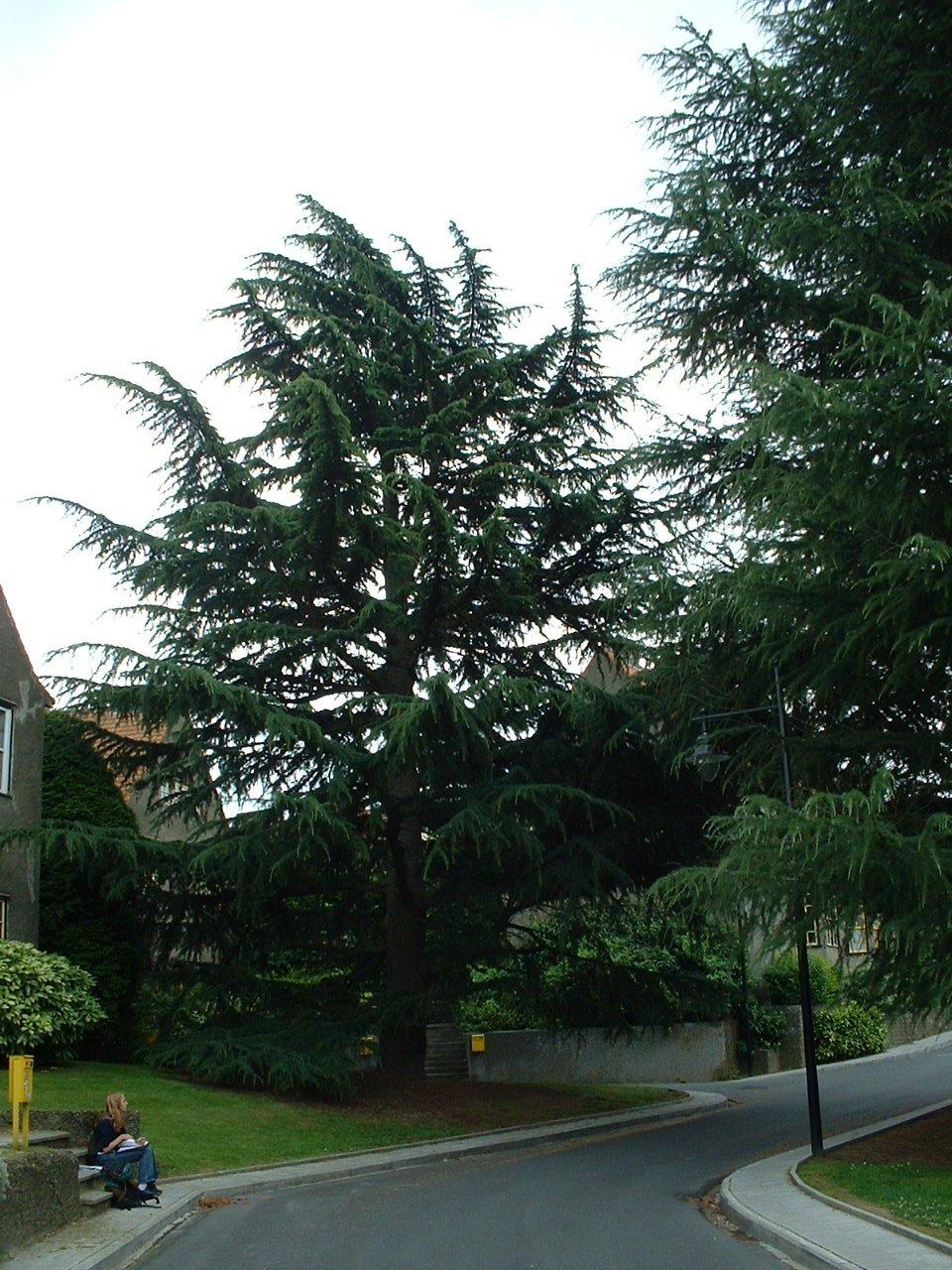 Cèdre de l'Himalaya – Watermael-Boitsfort, Cités-Jardin Le Logis et Floréal, Rue des Renoncules –  22 Juillet 2002