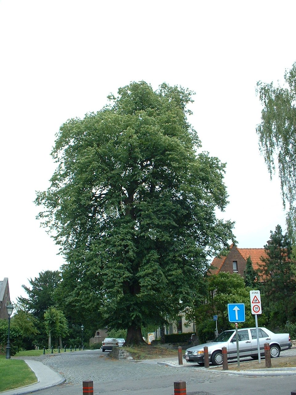 Tilleul à larges feuilles – Watermael-Boitsfort, Abords de l'église Saint-Clément, Rue du Loutrier –  04 Juillet 2002