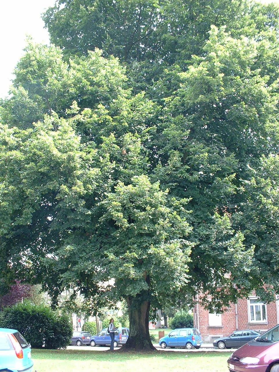 Tilleul à larges feuilles – Watermael-Boitsfort, Place Bisschoffsheim –  07 Août 2002