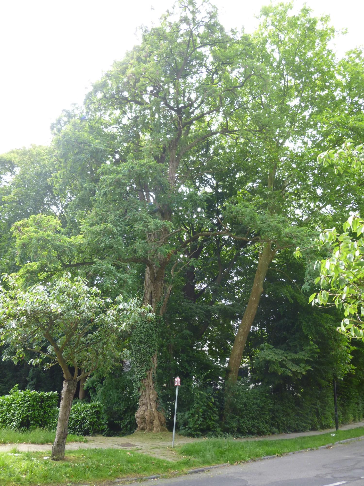 Robinia pseudoacacia var. inermis – Watermael-Boitsfort, Cités-Jardin Le Logis et Floréal, Avenue des Archiducs –  13 Juin 2014