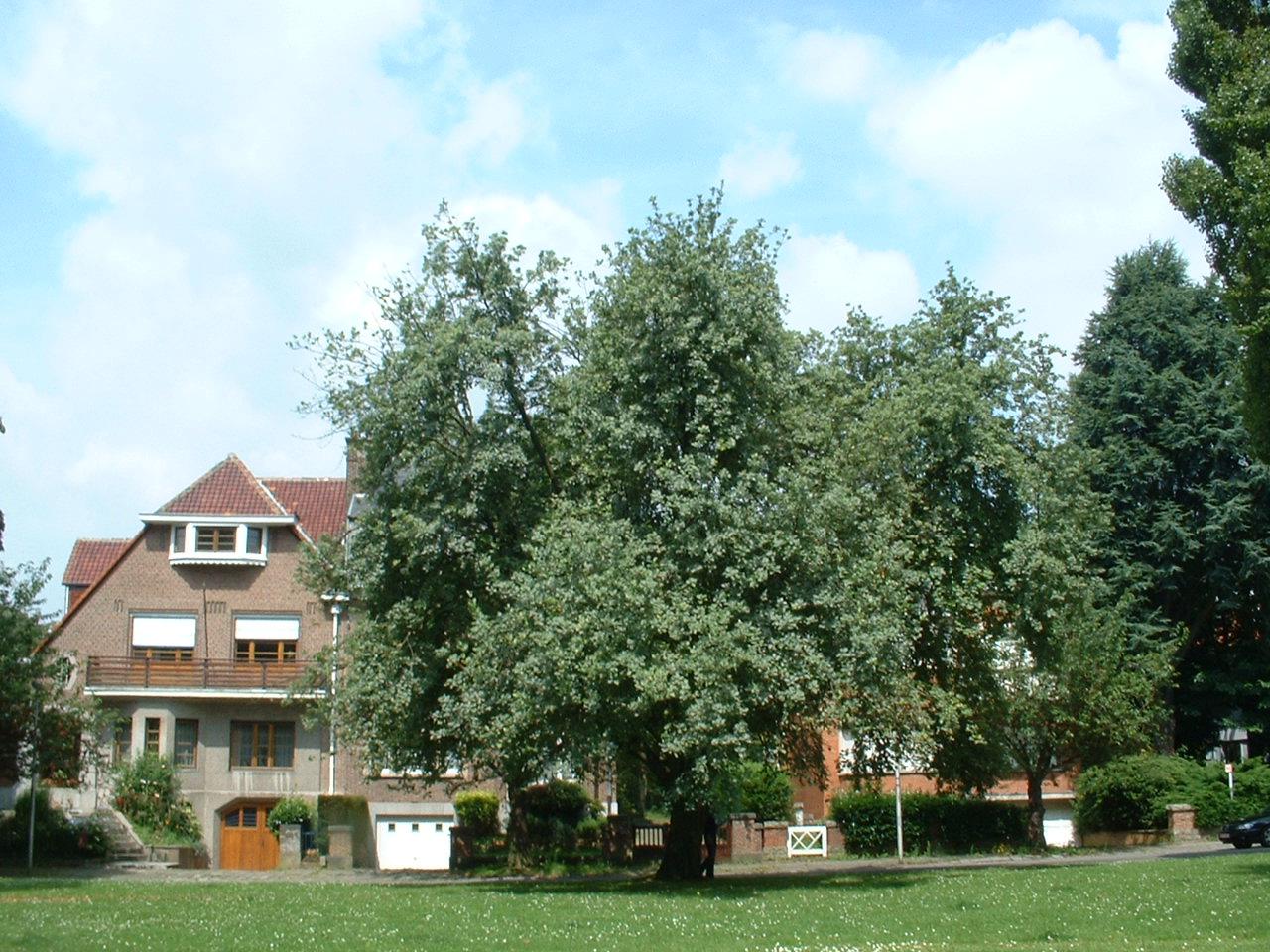 Sorbier blanc/Alouchier – Watermael-Boitsfort, Square de l'Arbalète –  25 Juillet 2002