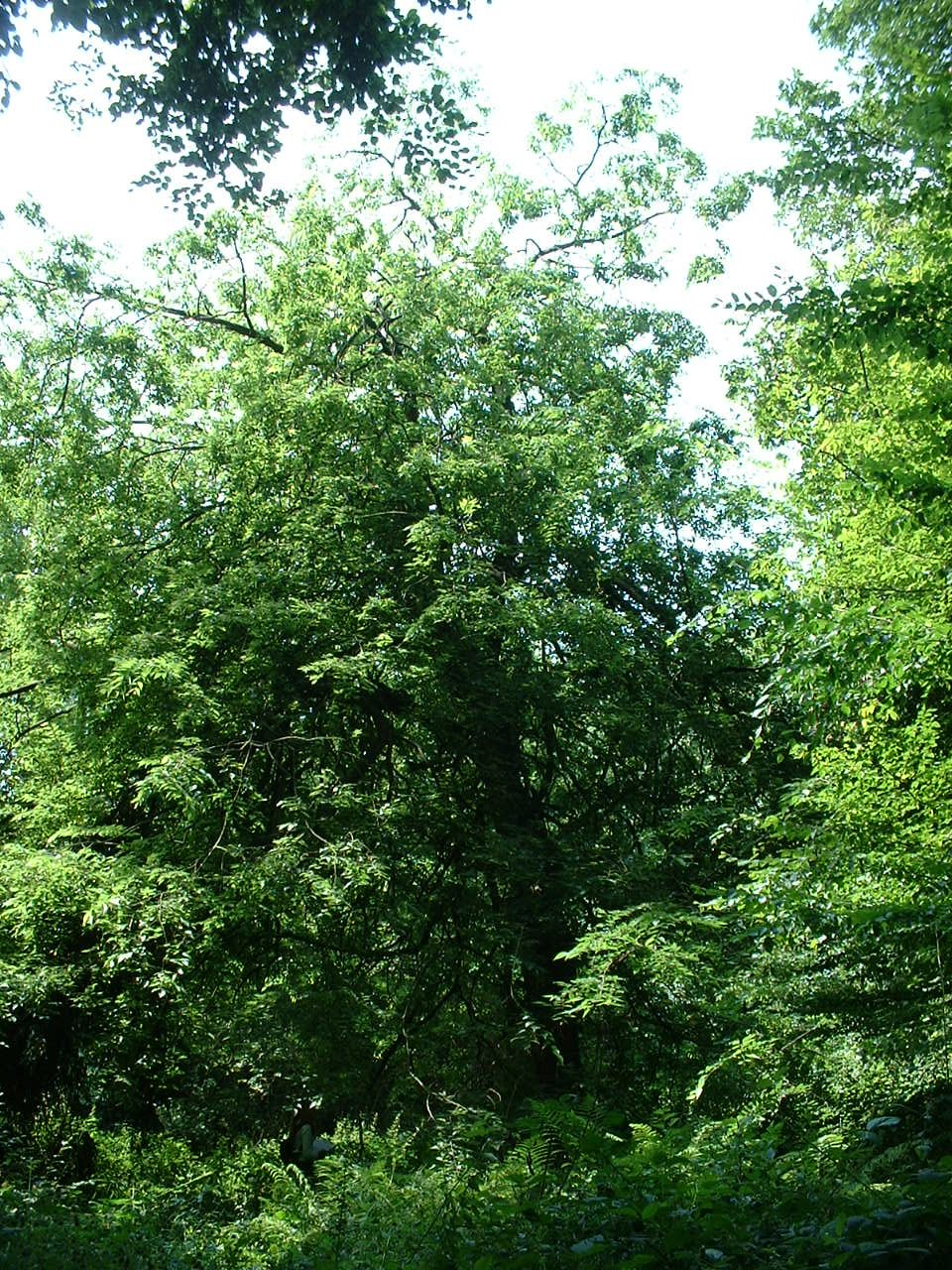 Micocoulier de Méditerranée – Watermael-Boitsfort, Parc privé de l'Institut royal des Sciences naturelles de Belgique et chemin des Chablis, Chemin des Chablis, 4 –  17 Juillet 2002