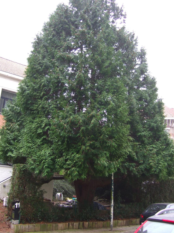 Faux-cyprès de Lawson – Watermael-Boitsfort, Avenue des Gerfauts, 11 –  29 Mars 2007