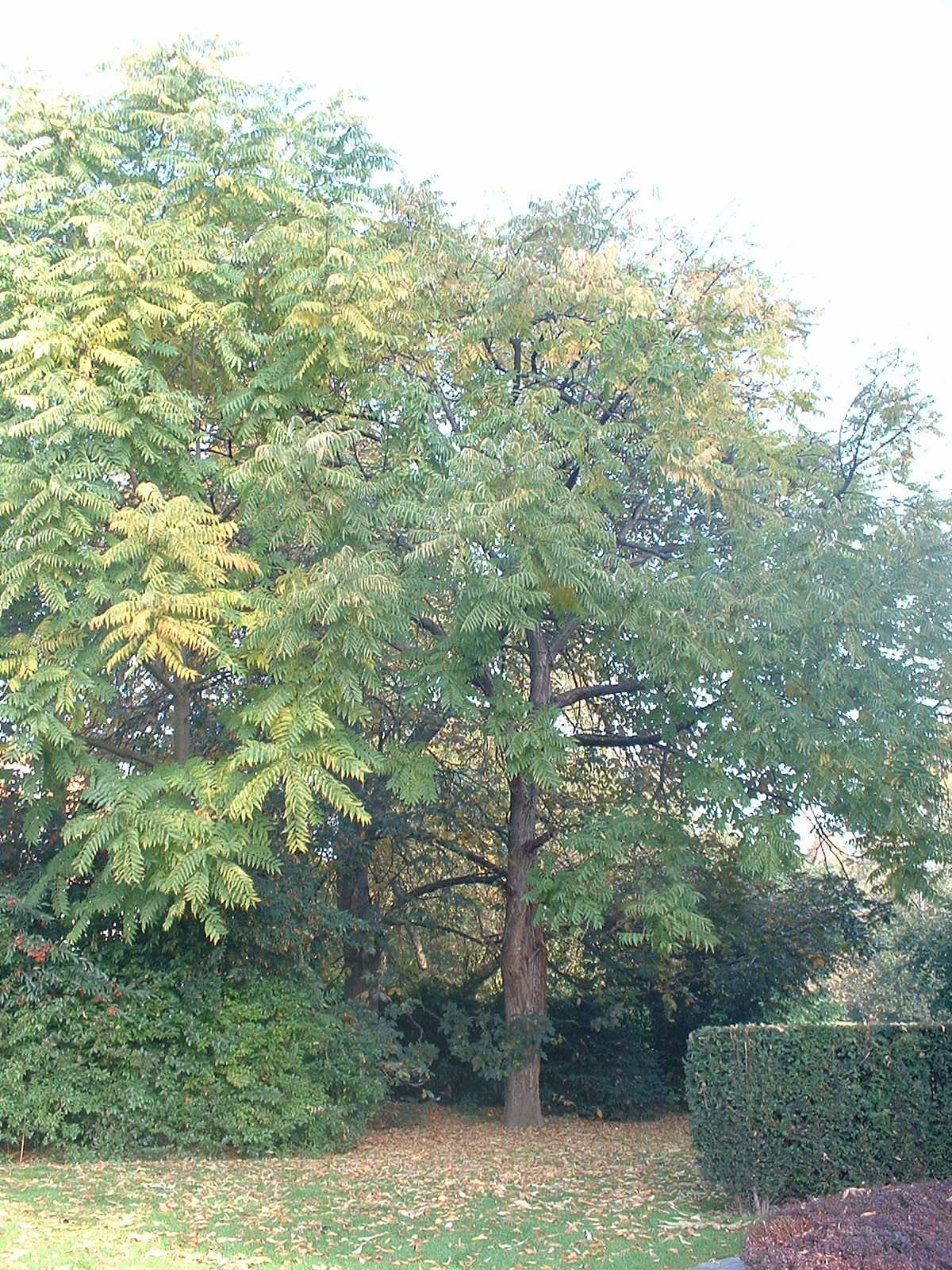 Cedrela sinensis – Watermaal-Bosvoorde, Leybeekpark, parc –  22 Oktober 2003