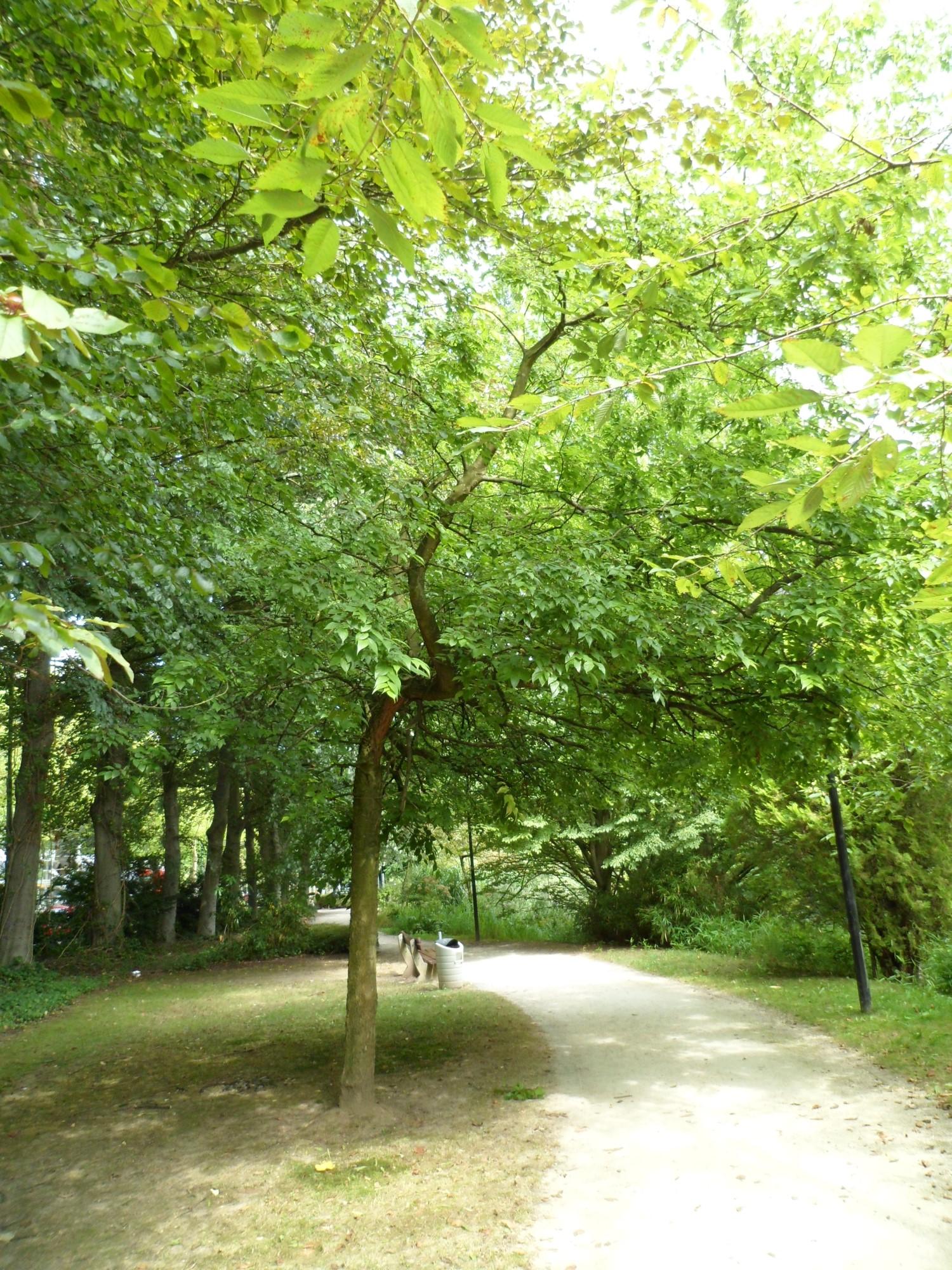 Micocoulier de Méditerranée – Watermael-Boitsfort, Parc de la Royale Belge, Boulevard du Souverain, 23 –  10 Septembre 2012
