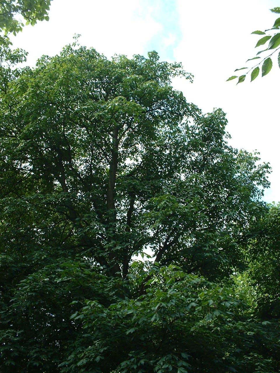 Marronnier pavier – Watermael-Boitsfort, Parc Tenreuken, Boulevard du Souverain –  19 Juillet 2002