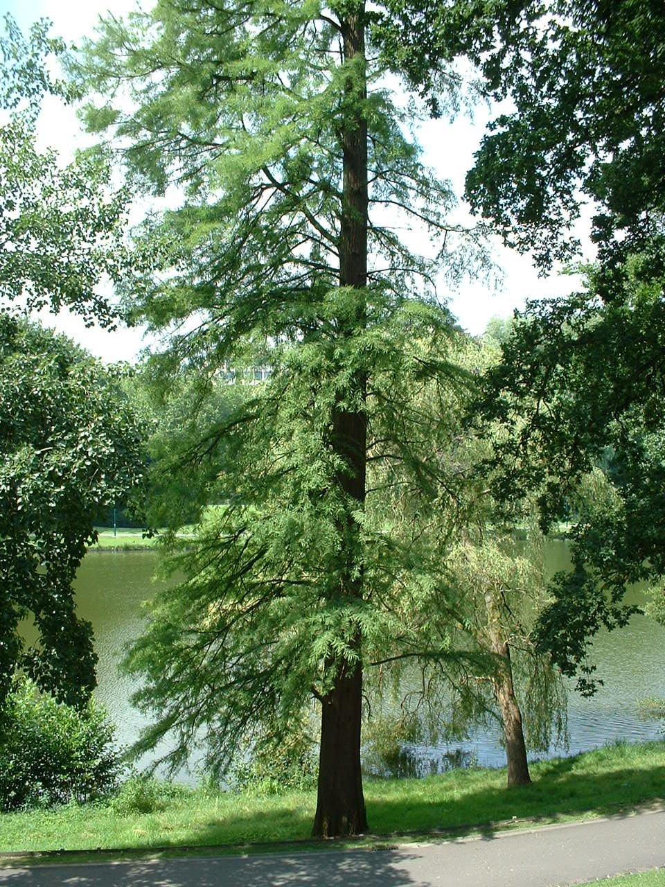 Cyprès chauve de Louisiane – Watermael-Boitsfort, Parc Tenreuken, Avenue du Grand Forestier –  19 Juillet 2002