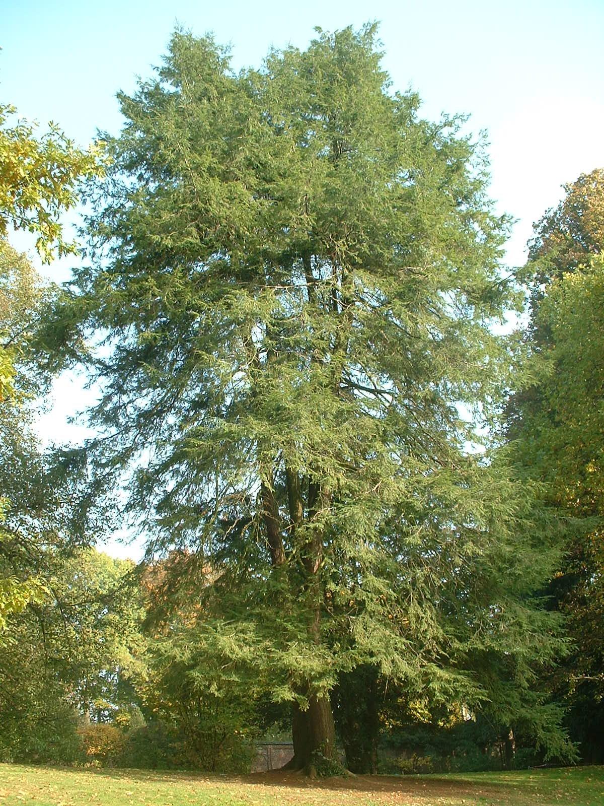 Tsuga du Canada – Watermael-Boitsfort, Parc Tournay - Solvay, parc –  22 Octobre 2003