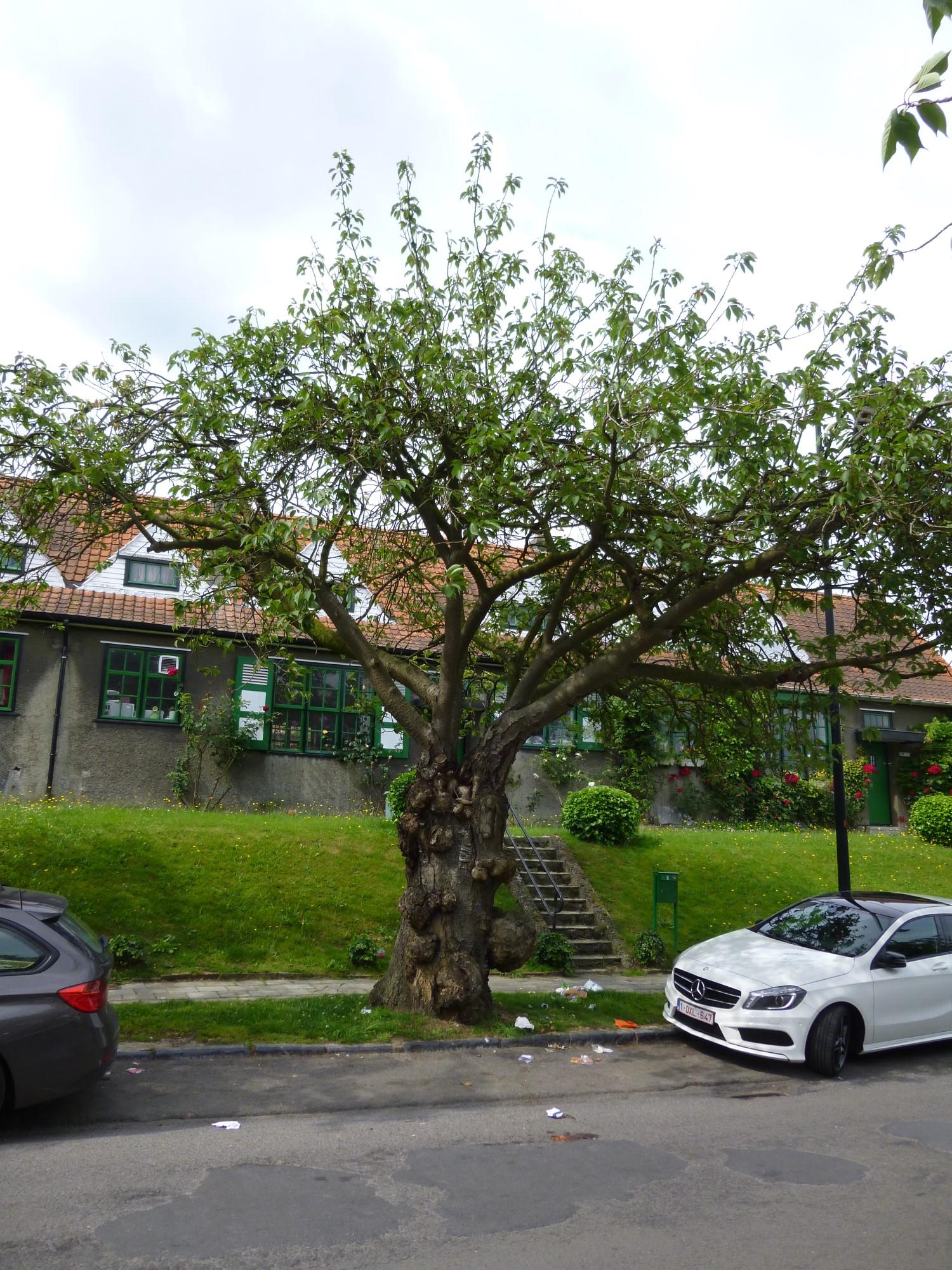 Cerisier du Japon – Watermael-Boitsfort, Cités-Jardin Le Logis et Floréal, Avenue des Archiducs, 30 –  13 Juin 2014