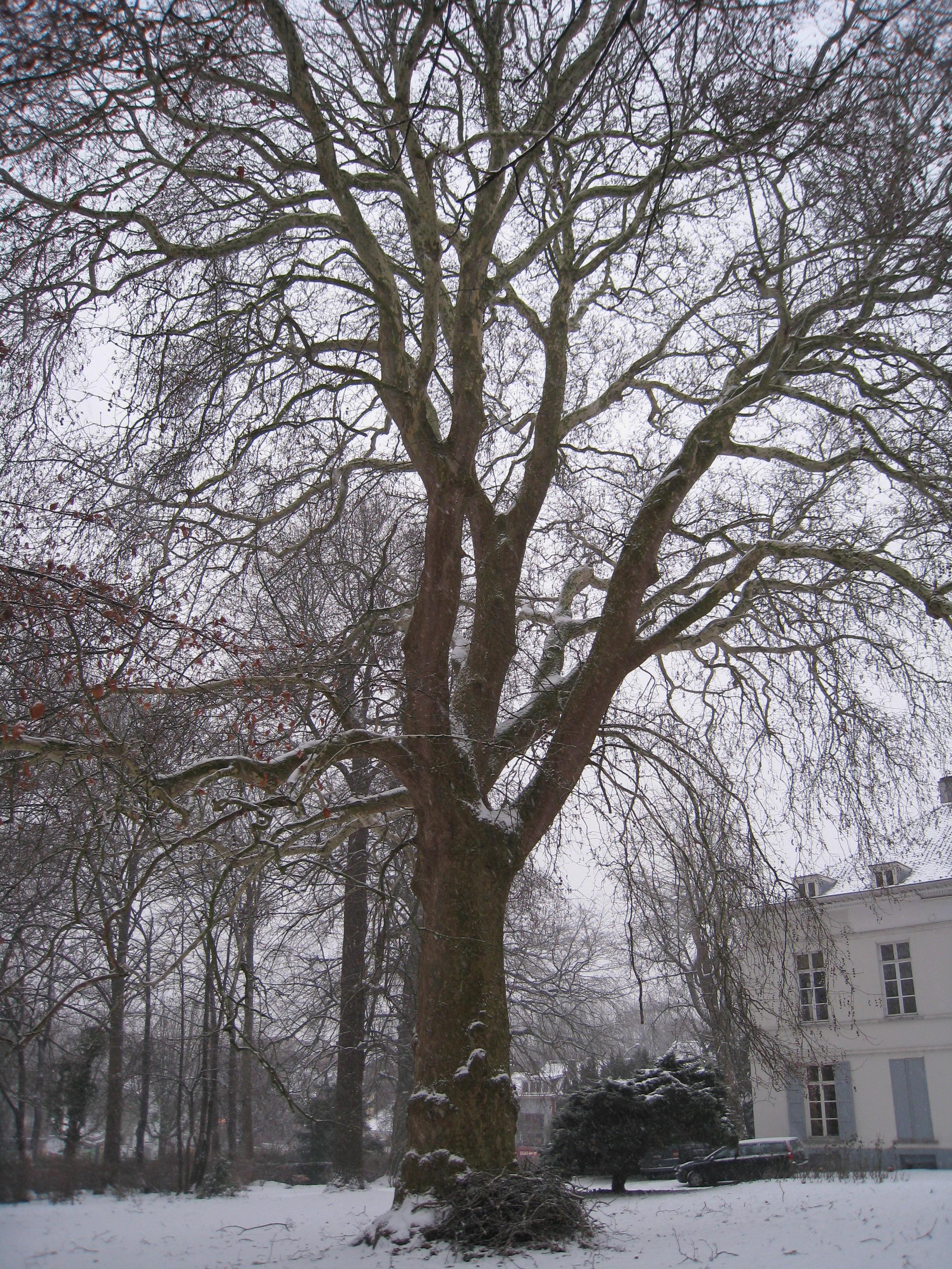 Platane d'Orient – Woluwé-Saint-Lambert, Propriété Voot, Rue Voot, 67 –  13 Janvier 2010