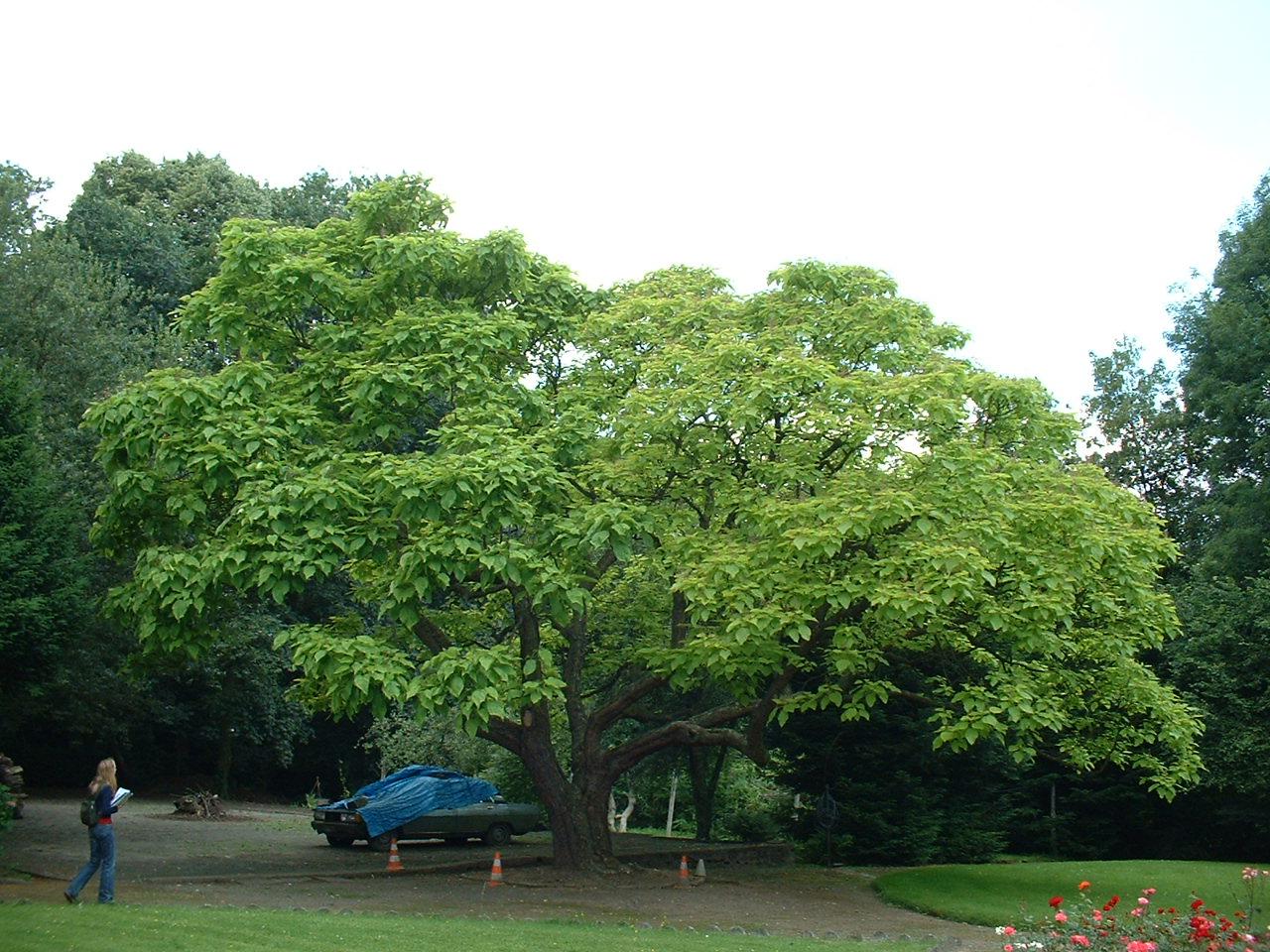 Catalpa à feuilles d'or – Woluwé-Saint-Lambert, Jardin privé rue de la Rive, Rue de la Rive, 77 –  27 Juin 2002