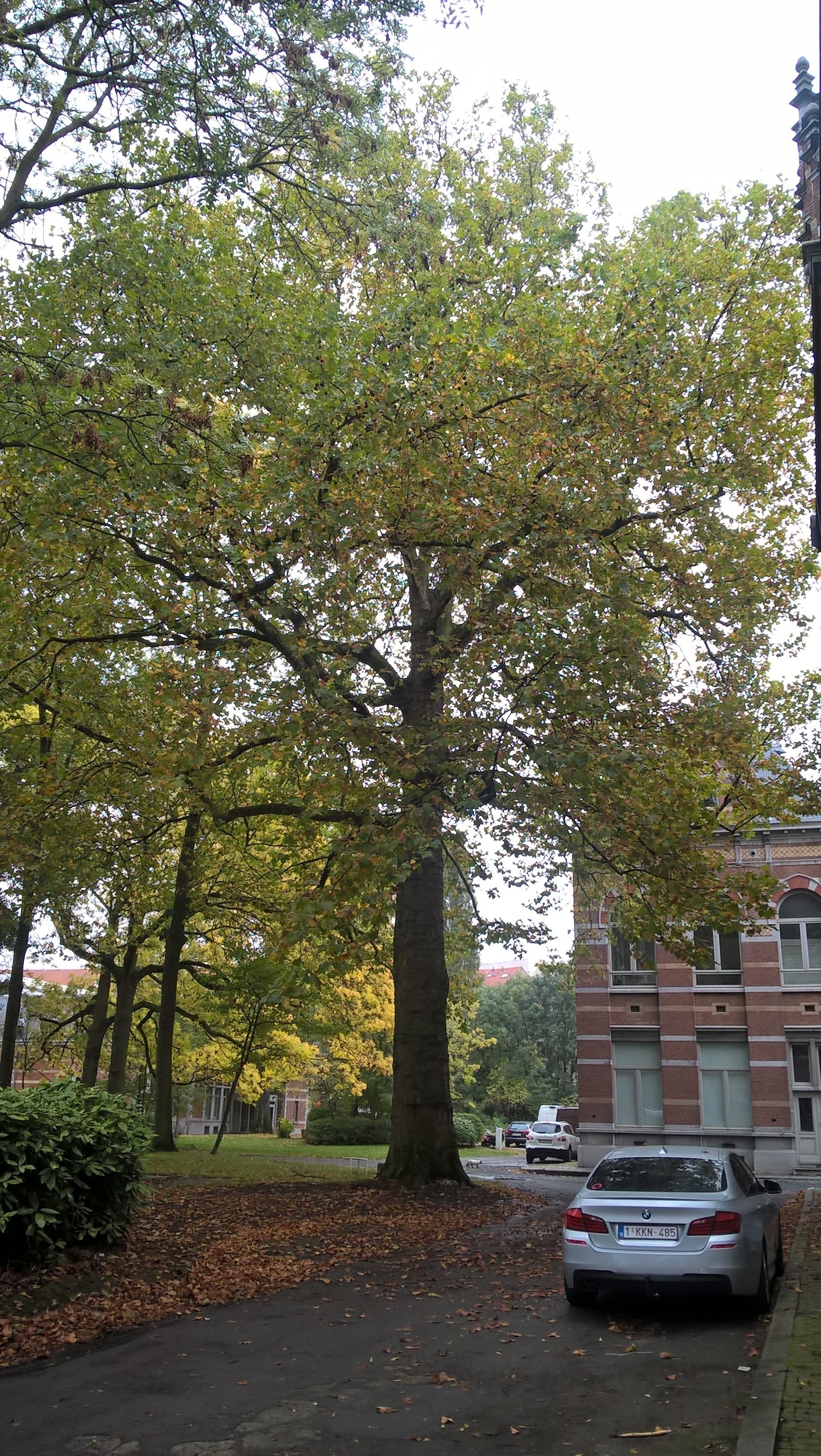 Gewone plataan – Anderlecht, Veeartsenijschool van Kuregem –  08 Oktober 2015