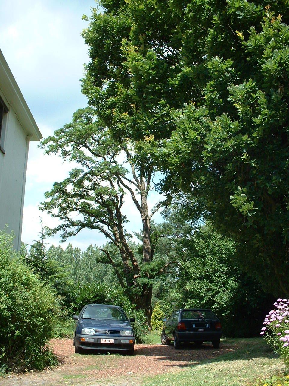 Robinier faux-acacia – Woluwé-Saint-Lambert, Avenue de la Chapelle, 35 –  27 Juin 2002