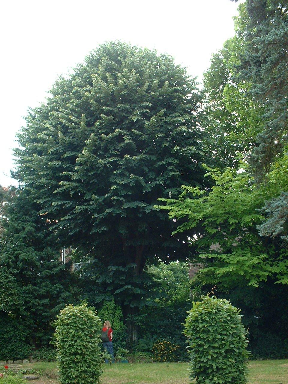 Tilleul argenté – Woluwé-Saint-Lambert, Avenue de la Chapelle, 35 –  27 Juin 2002