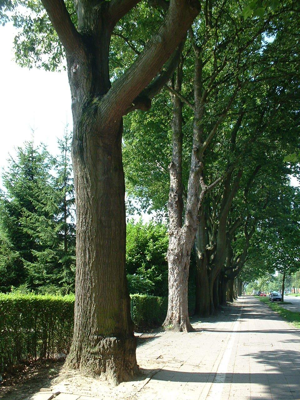 Chêne rouge d'Amérique – Woluwé-Saint-Lambert, Avenue Emile Vandervelde –  13 Août 2002