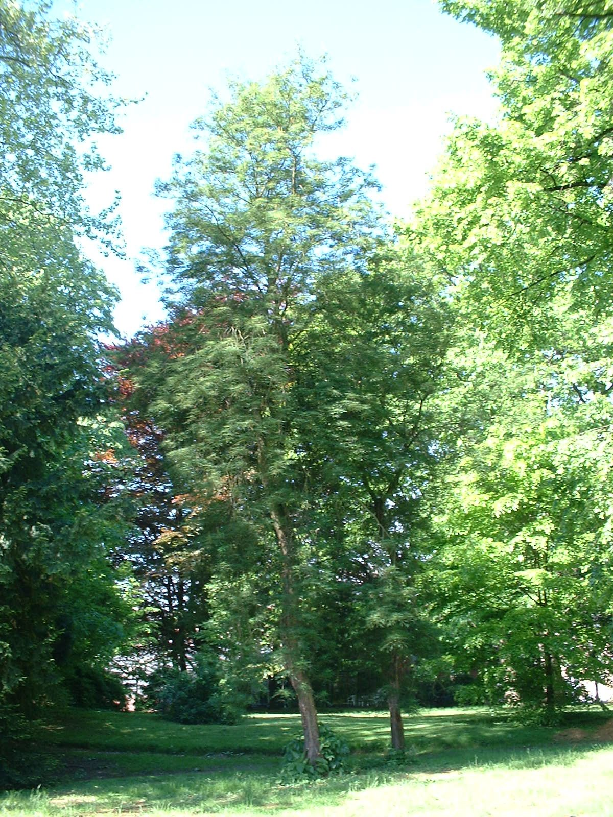 Aesculus hippocastanum var. laciniata – St.- Pieters - Woluwe, Park van het Sint-Michielskollege, Sint-Michielslaan –  07 Mei 2003
