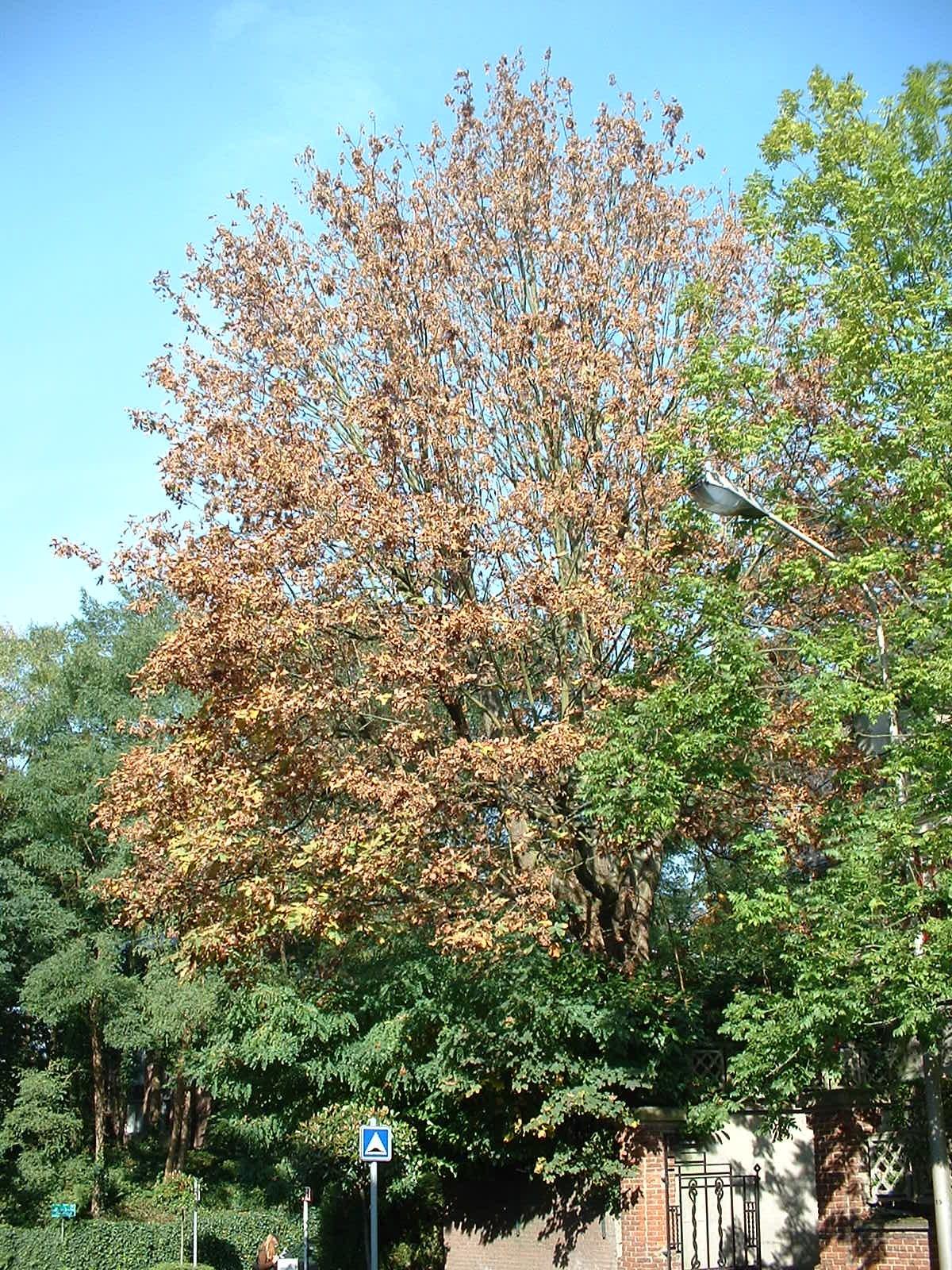 Erable à grandes feuilles – Woluwé-Saint-Pierre, Clos des Acacias, 1 –  10 Octobre 2002