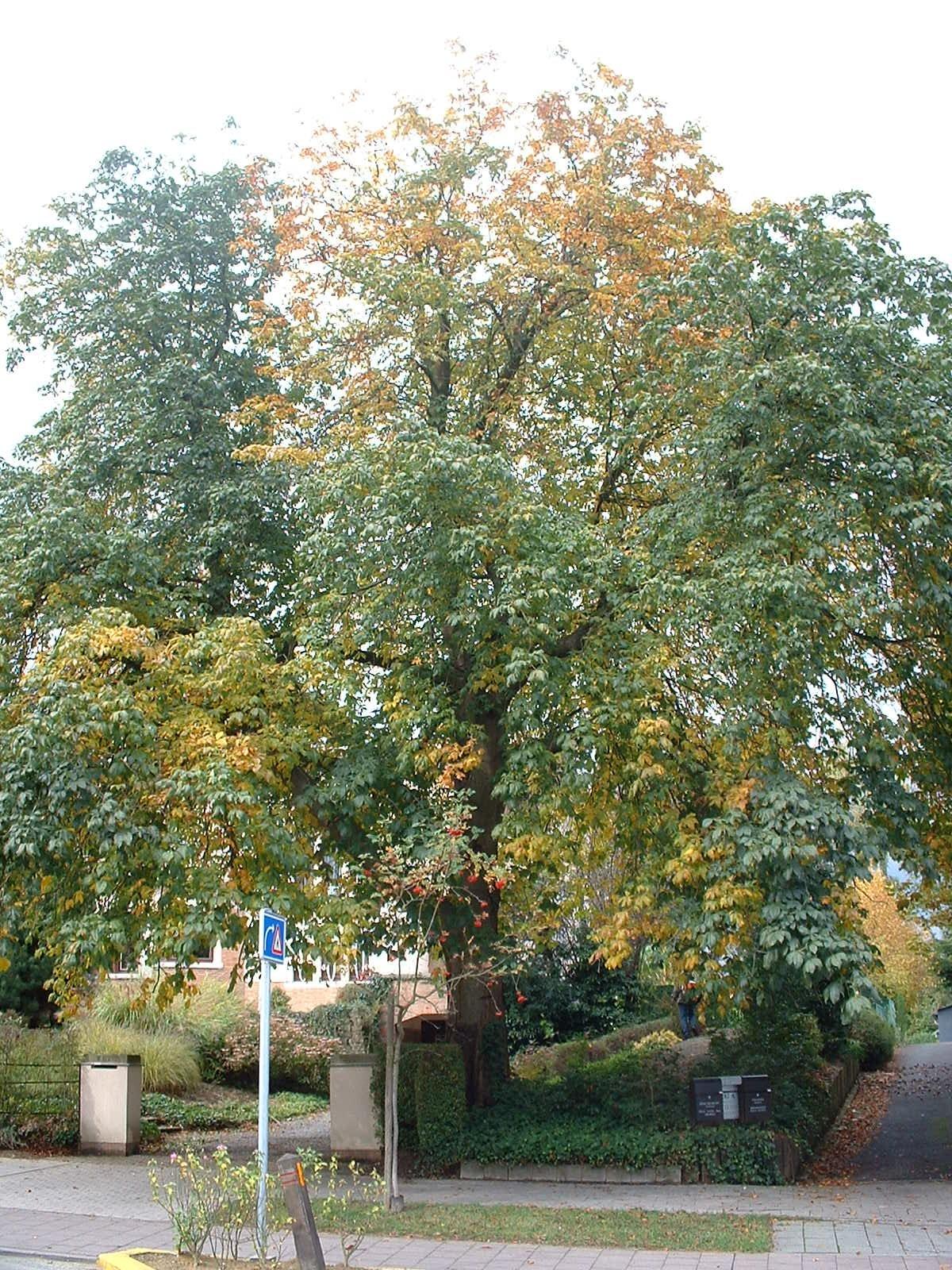 Marronnier à fleurs rouges – Woluwé-Saint-Pierre, Avenue Grandchamp, 282 –  17 Octobre 2002
