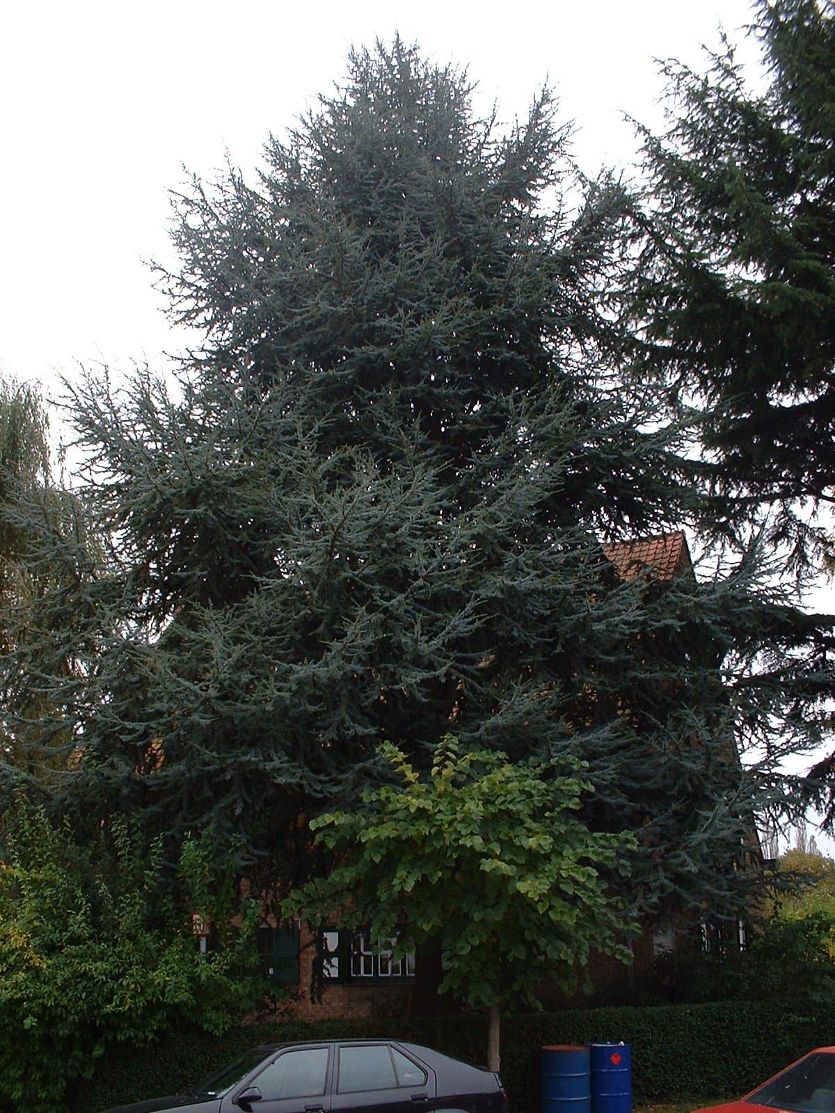 Cèdre bleu de l'Atlas – Woluwé-Saint-Pierre, Avenue du Tennis, 42 –  16 Octobre 2002