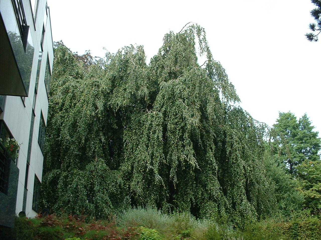 Hêtre tortillard – Woluwé-Saint-Pierre, Avenue Jules César, 77 –  22 Août 2002
