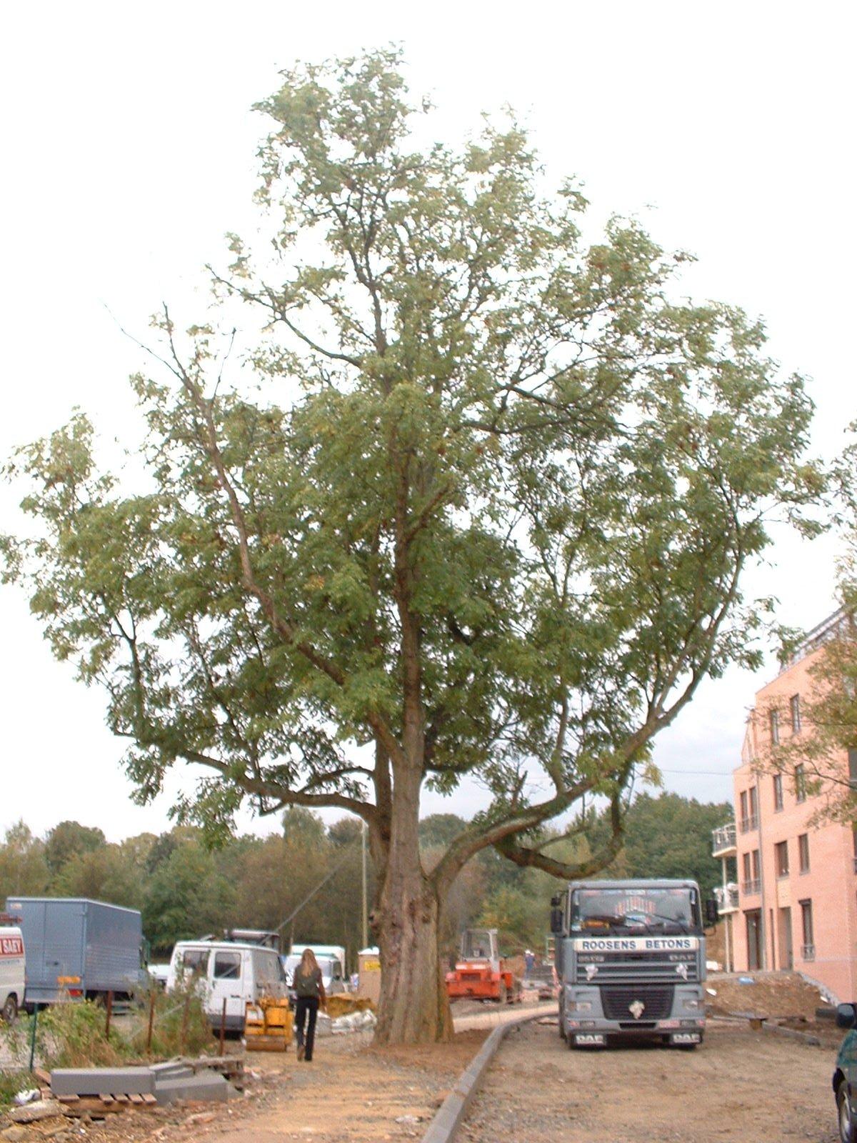 Frêne commun – Woluwé-Saint-Pierre, Chaussée de Stockel –  17 Octobre 2002