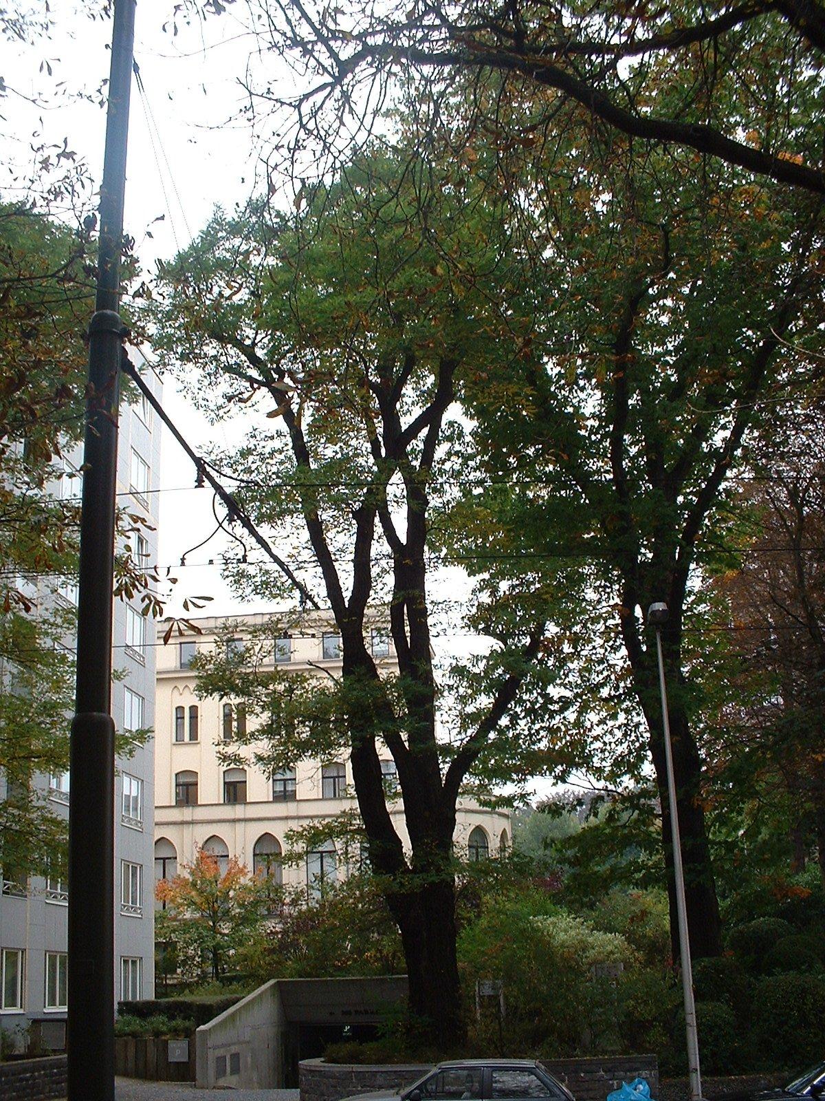 Robinier faux-acacia – Woluwé-Saint-Pierre, Avenue de Tervueren, 268a –  03 Octobre 2002