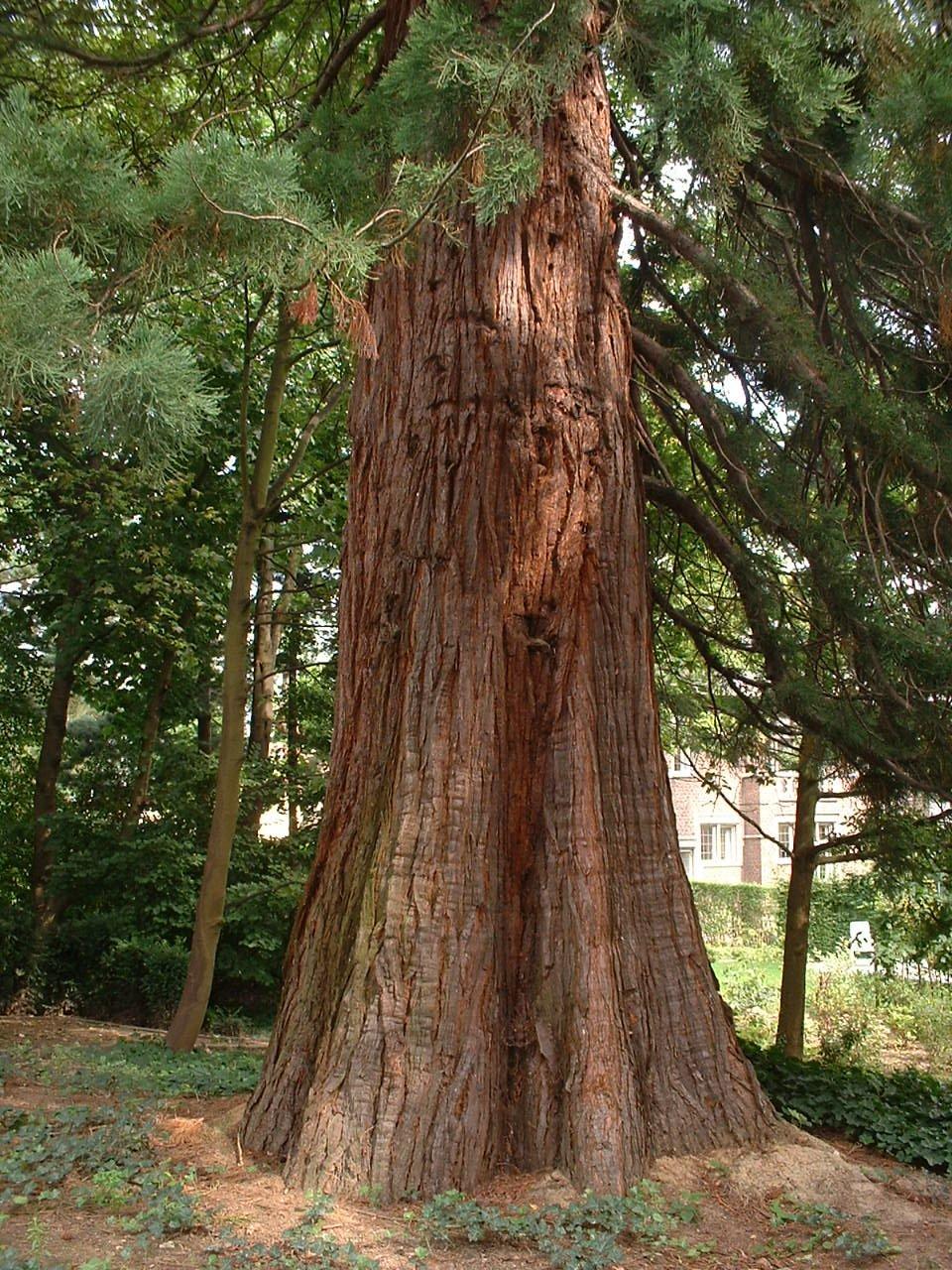 Sequoia géant – Woluwé-Saint-Pierre, Avenue Jules César, 77 –  22 Août 2002