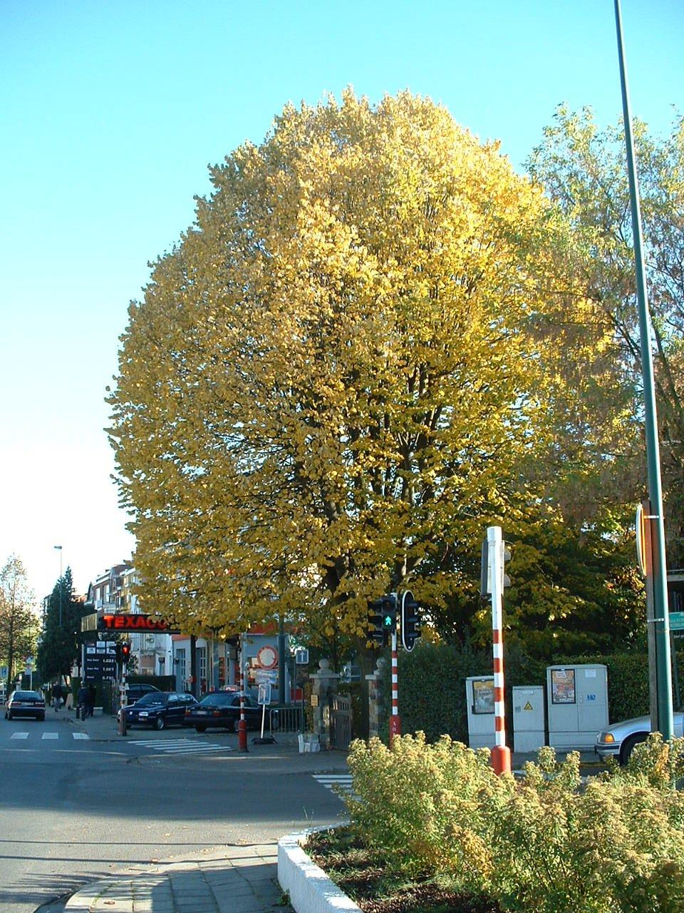 Zilverlinde – St.- Pieters - Woluwe, Orbanlaan, 209 –  24 Oktober 2002