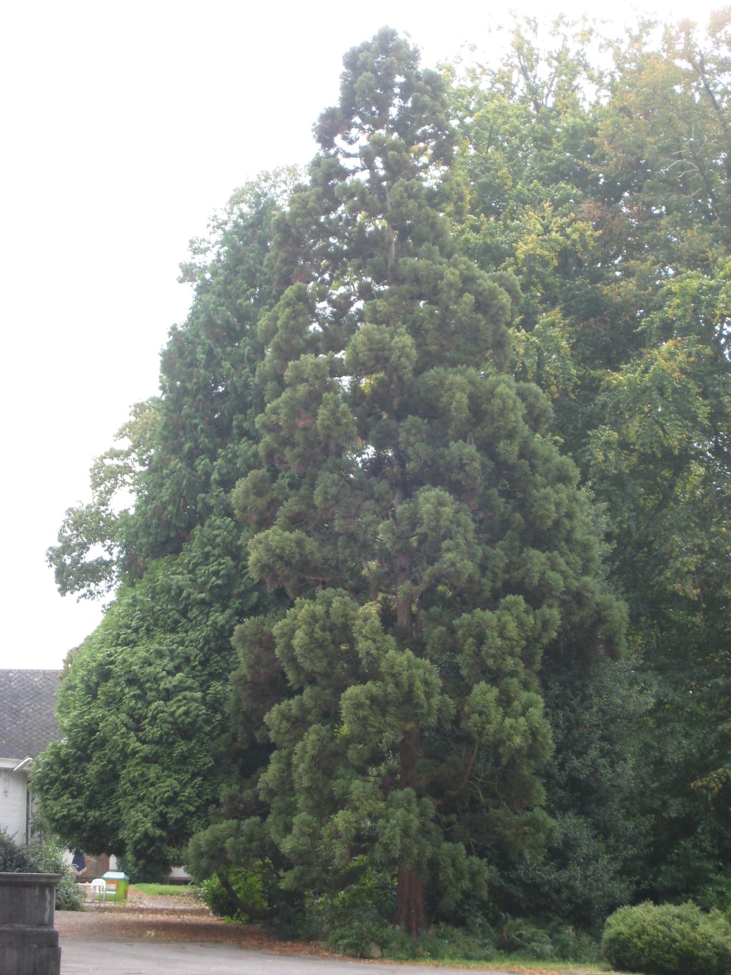 Japanse ceder – St.- Pieters - Woluwe, Park van het Manoir d'Anjou, parc privé –  27 September 2007