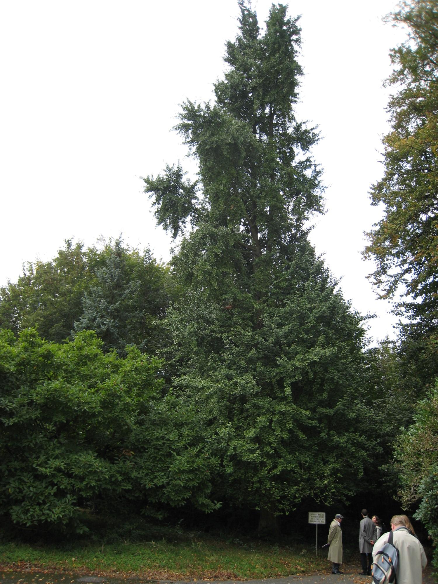 Arbre aux quarante écus – Woluwé-Saint-Pierre, Parc du Manoir d'Anjou, parc privé –  27 Septembre 2007
