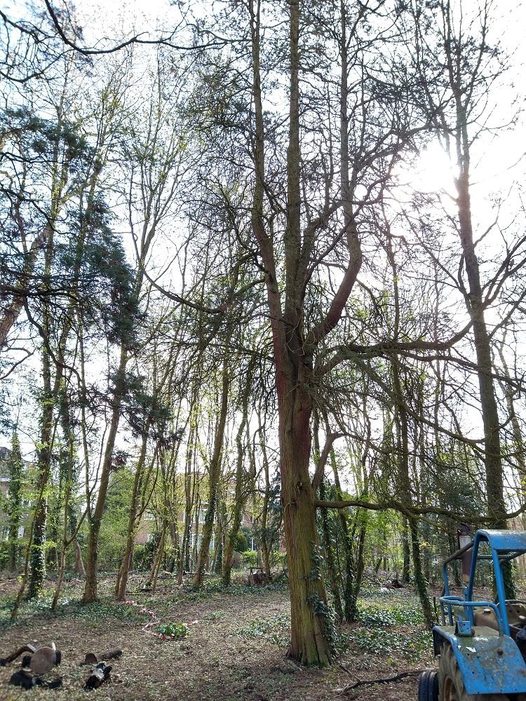 Chamaecyparis pisifera 'Plumosa' – Woluwé-Saint-Pierre, Parc Parmentier –  18 Juin 2014