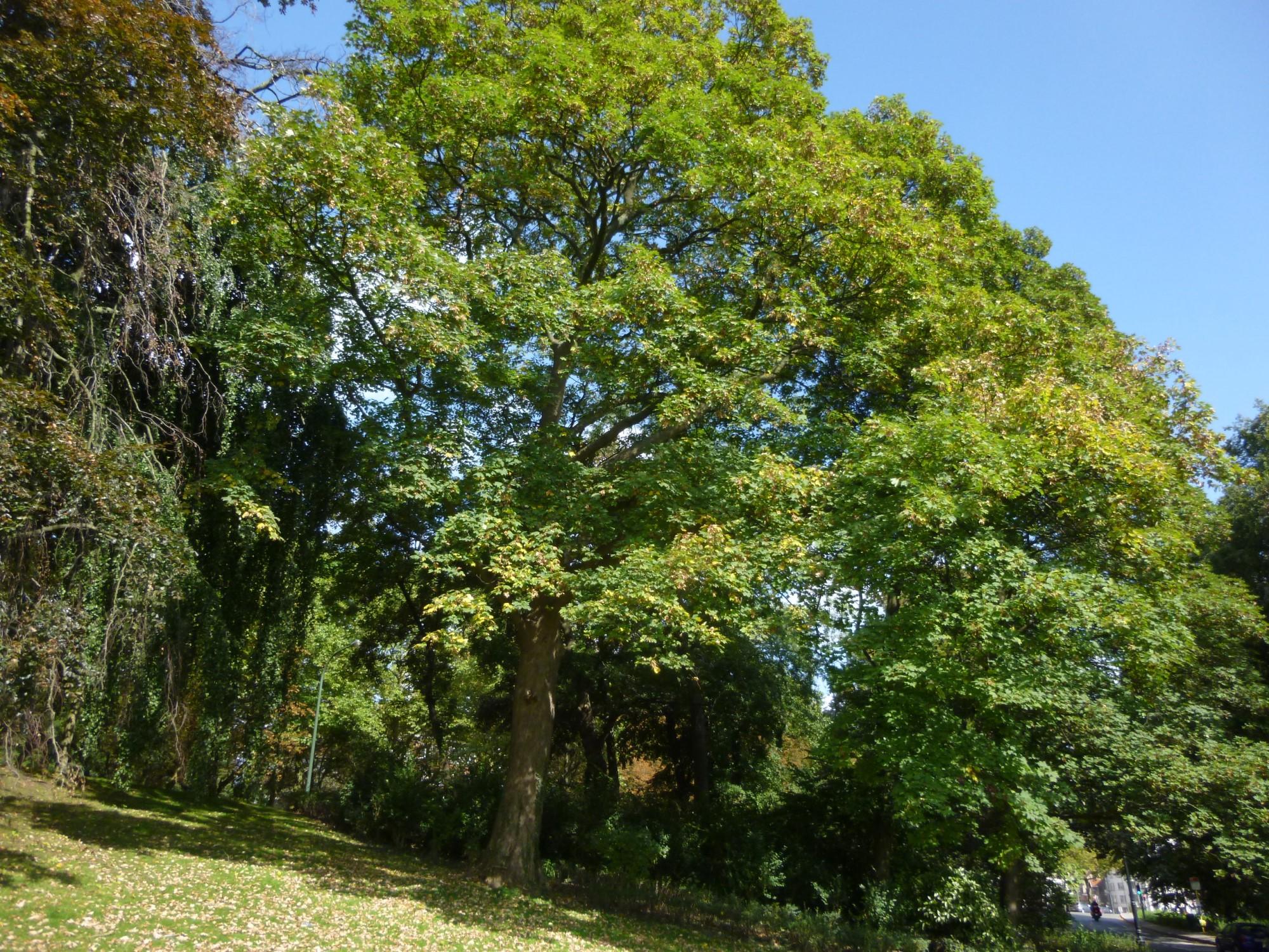 Erable sycomore – Woluwé-Saint-Pierre, Parc de Woluwe –  16 Septembre 2014