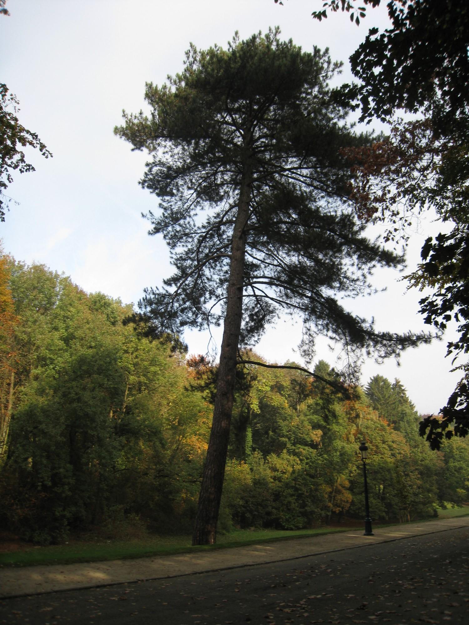 Pin noir – Woluwé-Saint-Pierre, Parc de Woluwe –  30 Octobre 2009