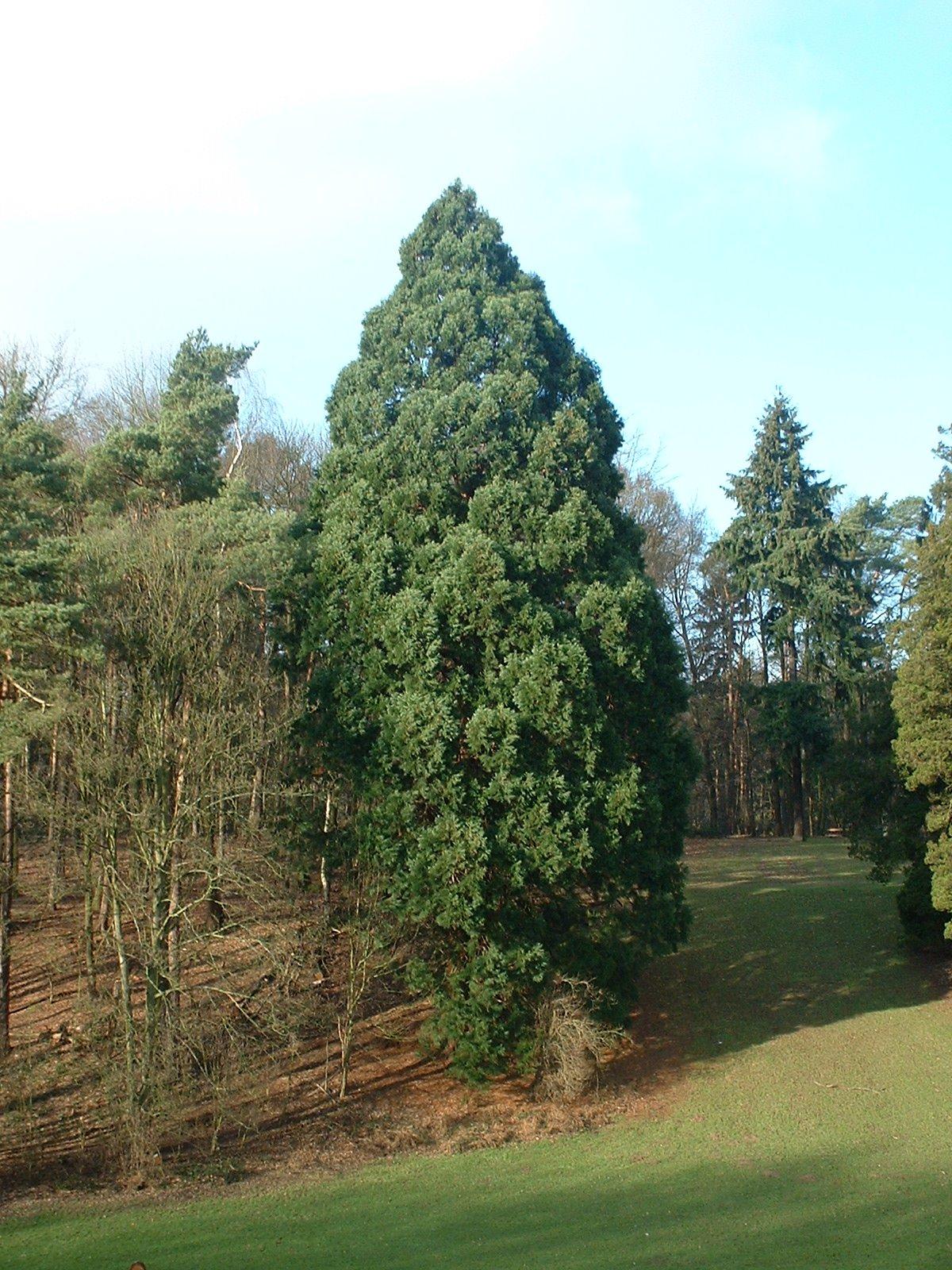Sequoia géant – Woluwé-Saint-Pierre, Parc de Woluwe, parc –  24 Janvier 2003