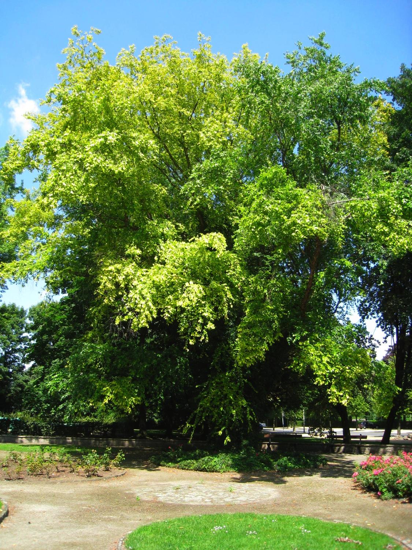 Bouleau noir – Anderlecht, Parc Joseph Lemaire, parc –  29 Juillet 2008