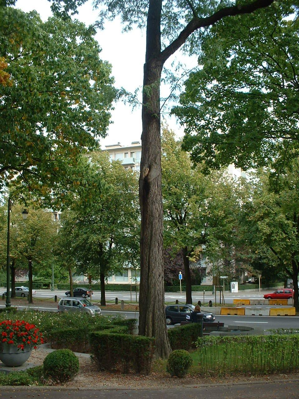 Févier d'Amérique – Auderghem, Boulevard du Souverain –  28 Septembre 2005