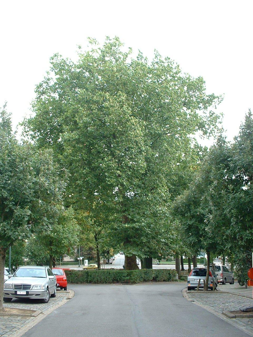 Platane à feuille d'érable – Auderghem, Boulevard du Souverain –  28 Septembre 2005