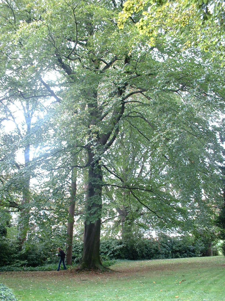 Hêtre pourpre – Bruxelles, Domaine du Mont Saint-Alban, Avenue Jean Sobieski, 13-15-17 –  02 Octobre 2006