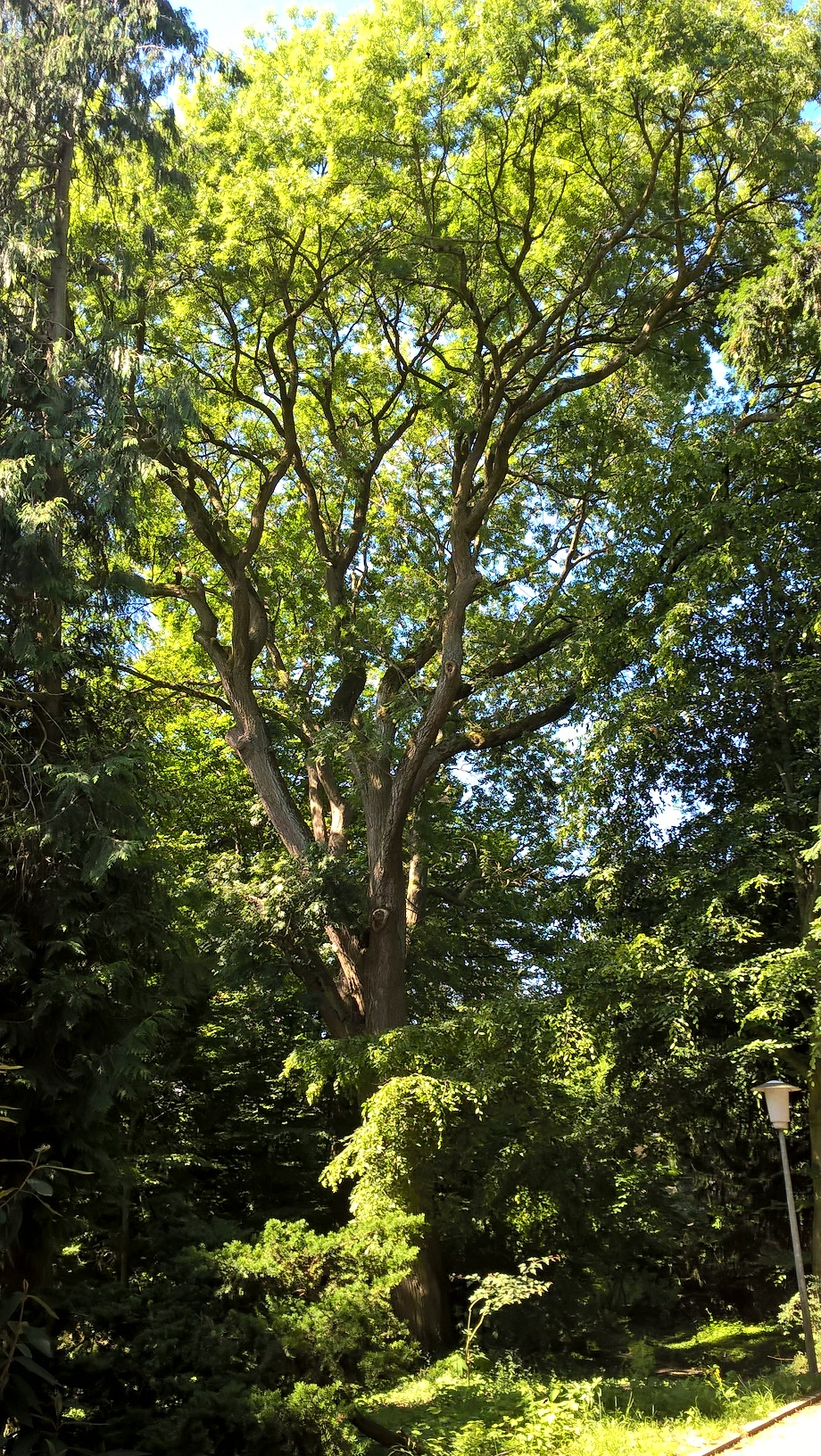Frêne commun – Auderghem, Jardin  Massart –  04 Juillet 2019