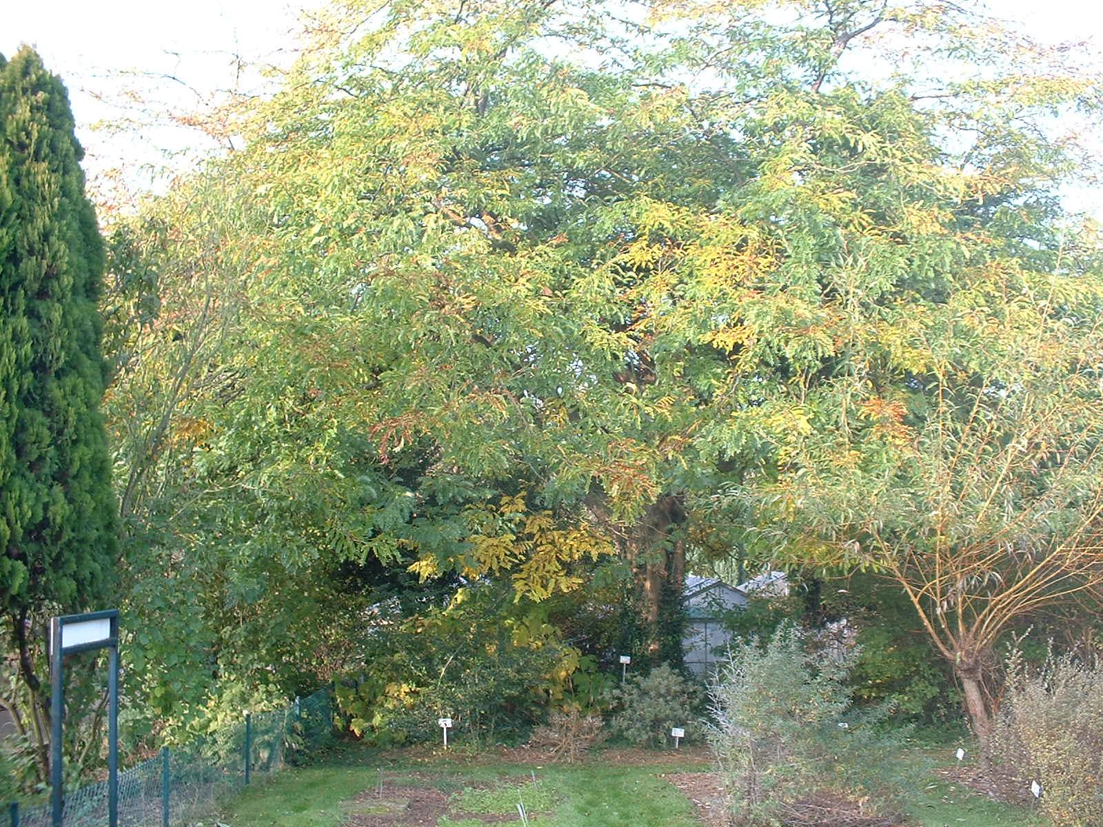 Févier du Caucase – Auderghem, Jardin  Massart, parc –  22 Octobre 2003