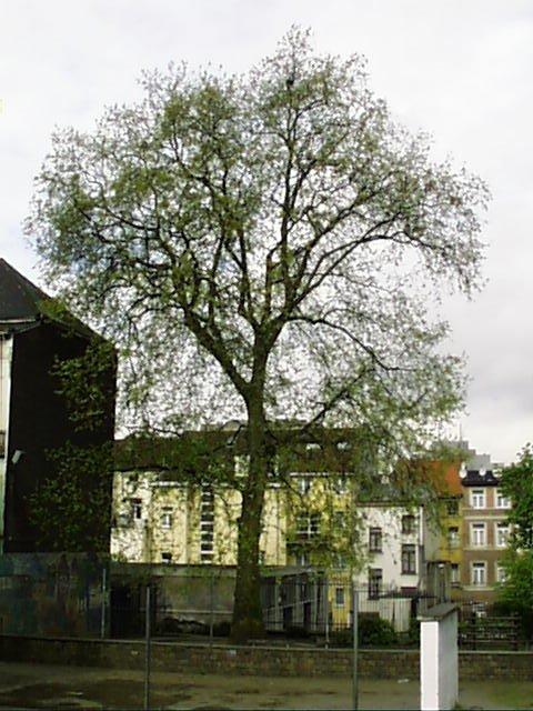 Platane à feuille d'érable – Saint-Josse-Ten-Noode, Rue de la Poste, 51 –  02 Mai 2002